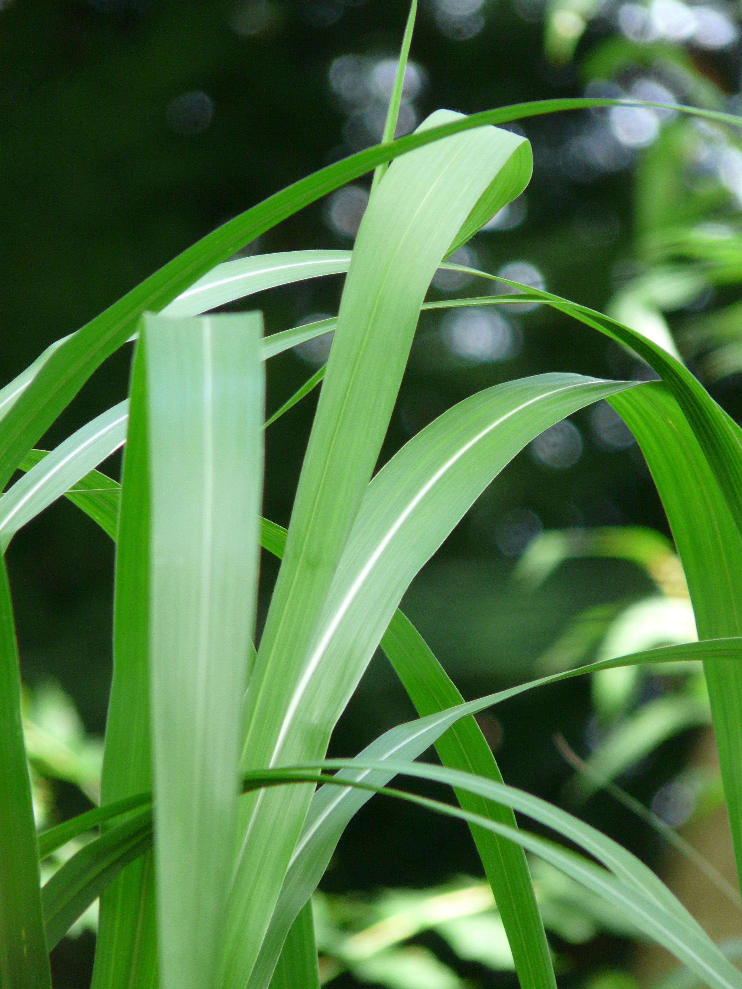 Free Images Leaf Flower Reed Green Botany Flora Bamboo