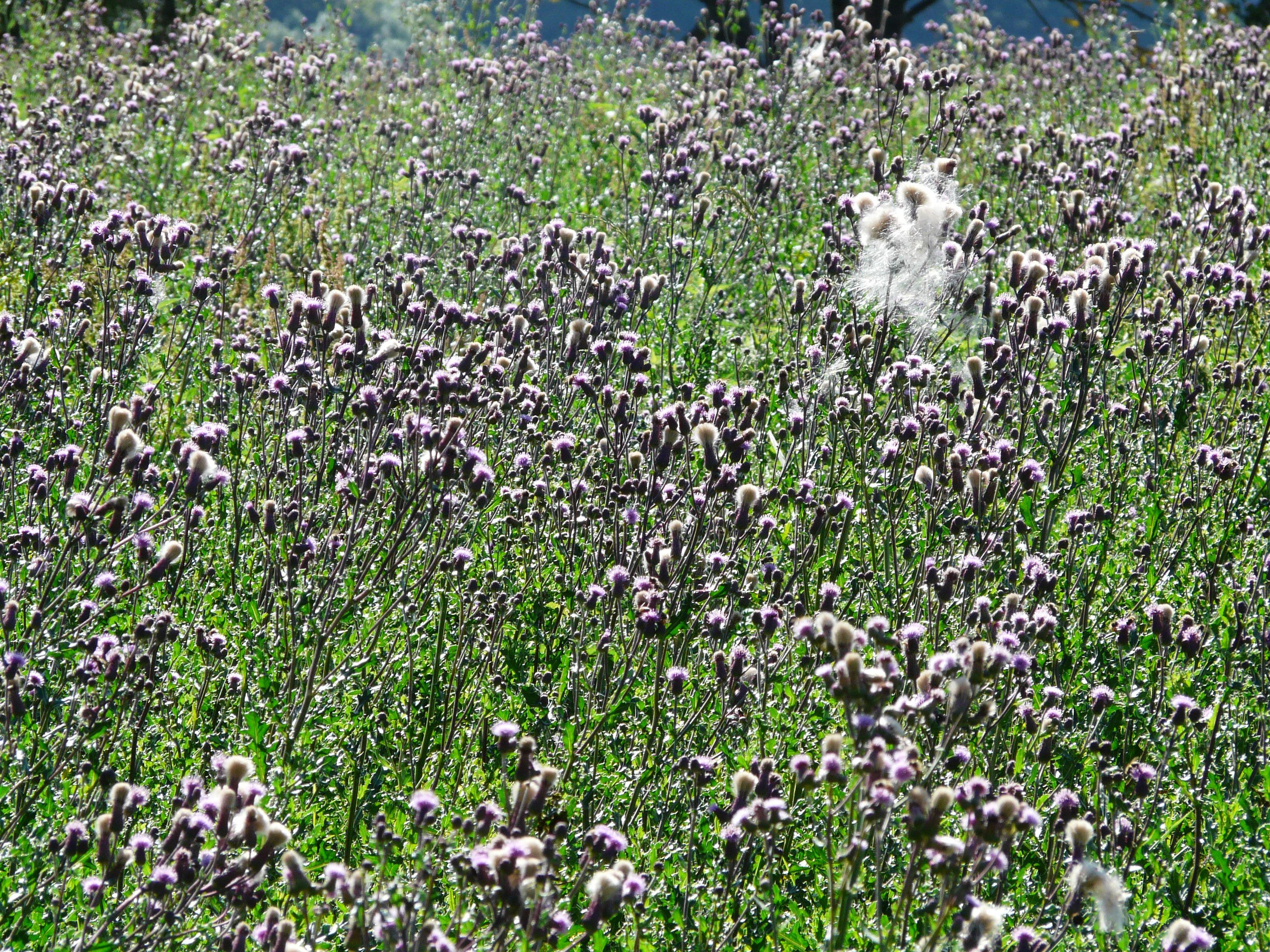 kostenlose foto gras wiese blume lila kraut flora wildblume blumen bl tter strauch. Black Bedroom Furniture Sets. Home Design Ideas