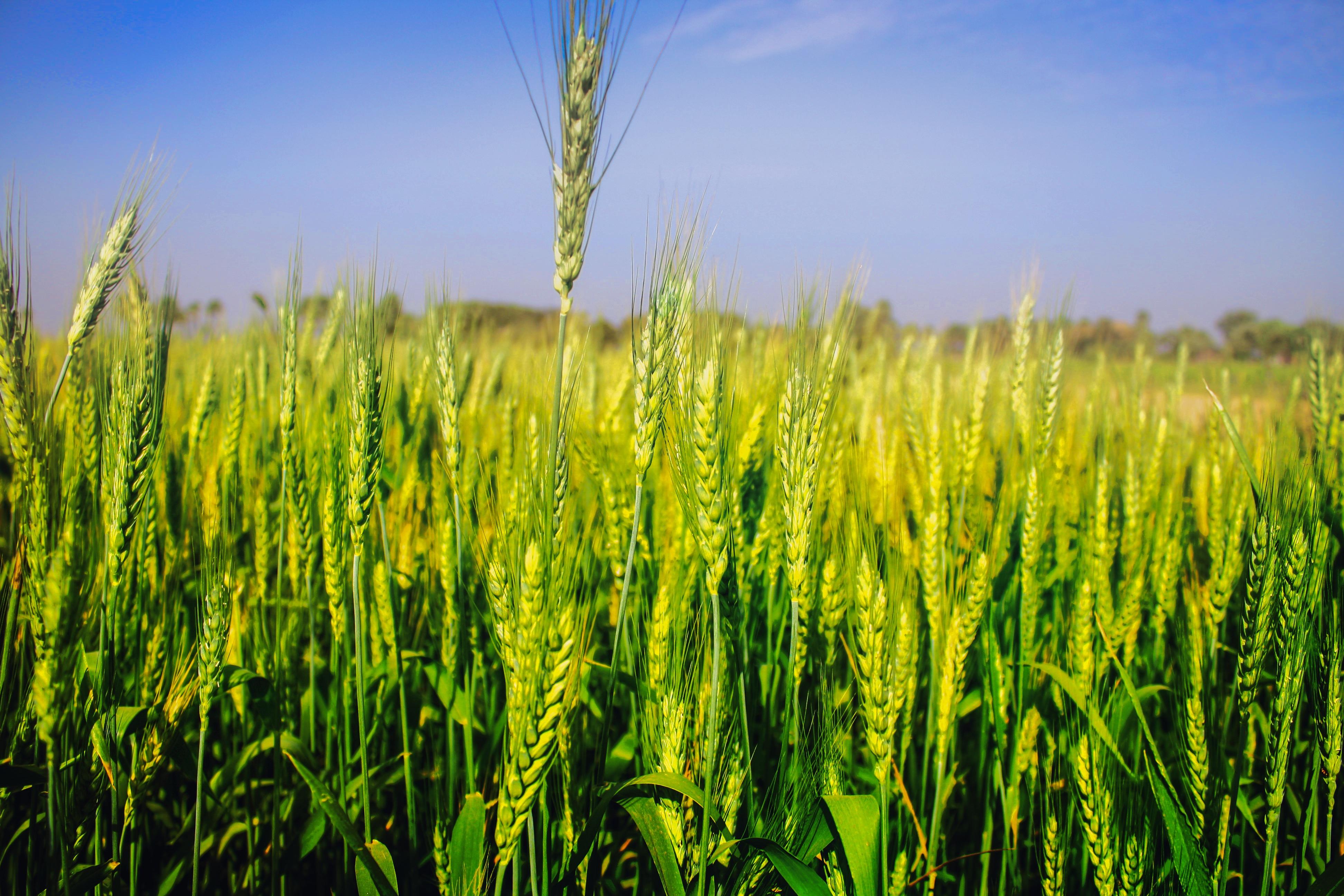 Картинка зерновых культур