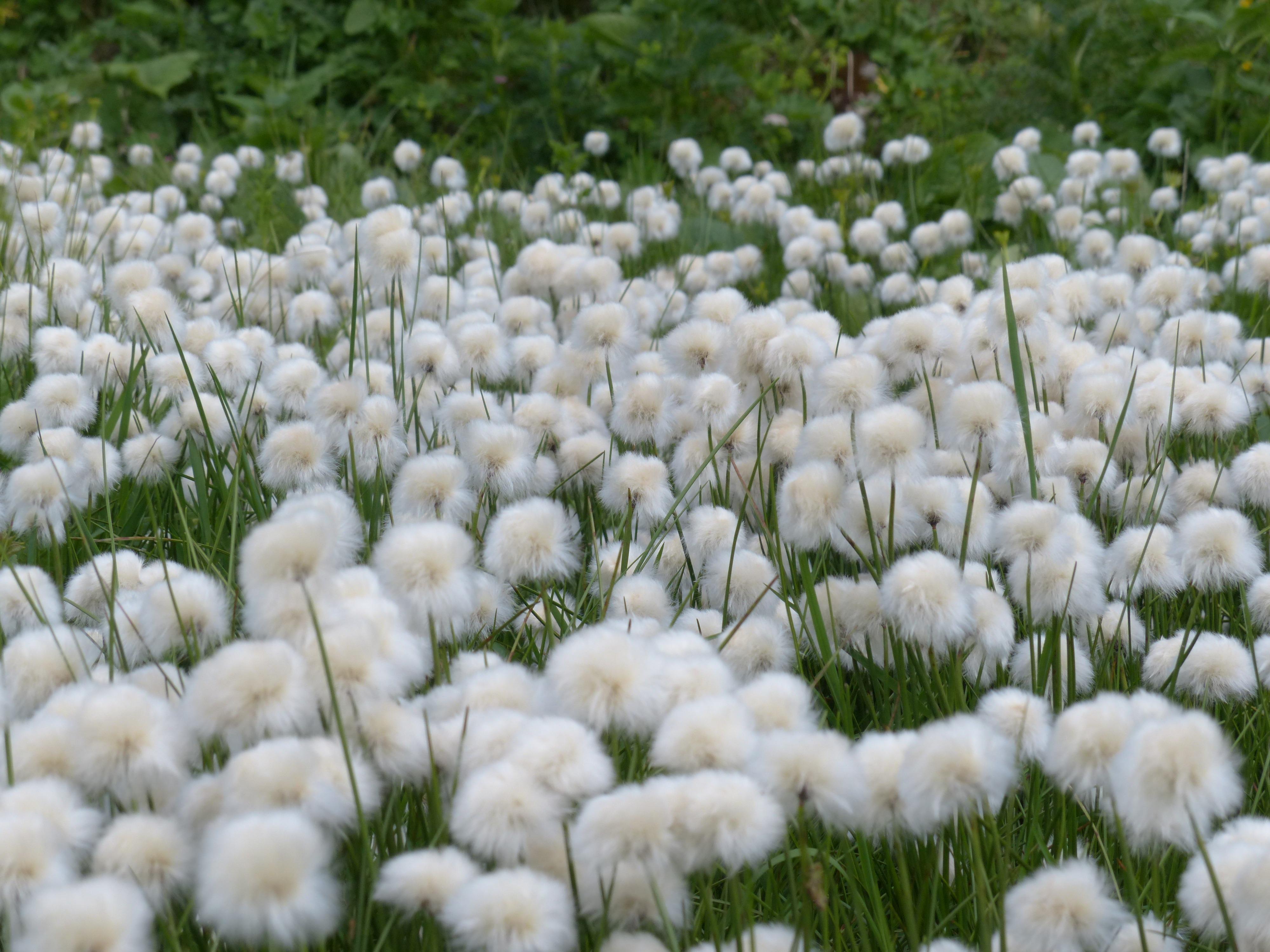 Favori Images Gratuites : herbe, blanc, champ, Prairie, fleur, vert  YH79