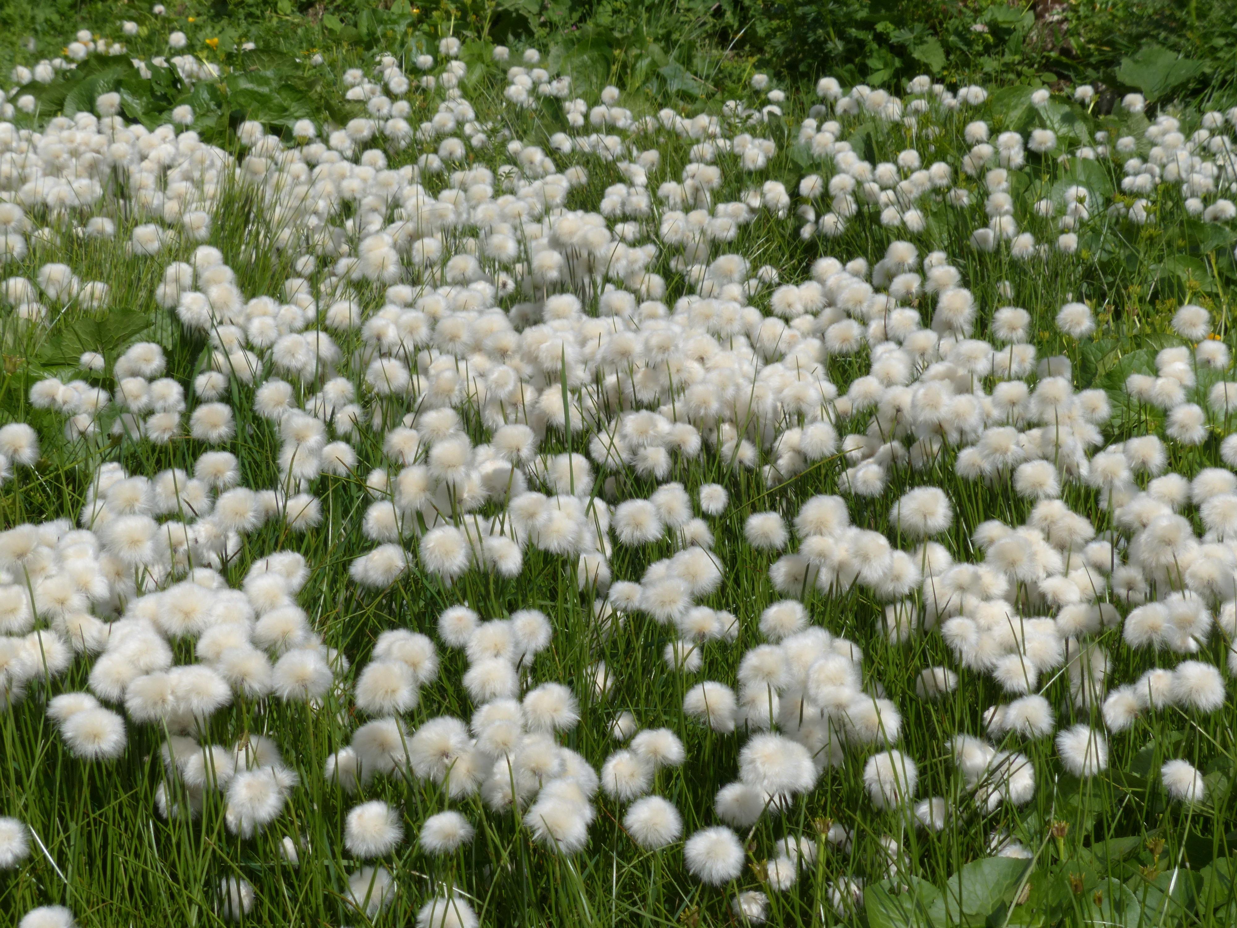 Top Images Gratuites : herbe, blanc, champ, Prairie, fleur, vert  AA06