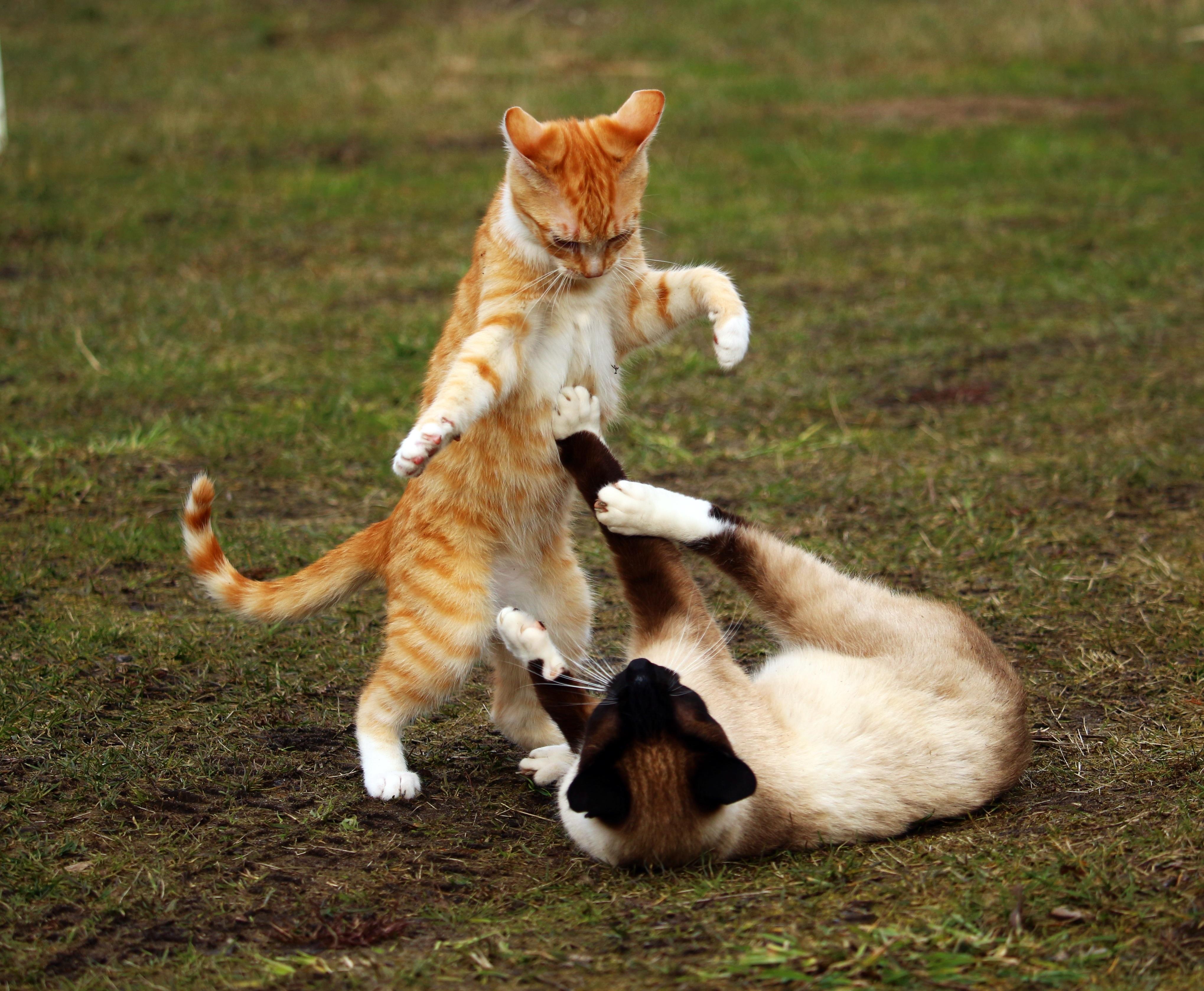 каждым дерущиеся коты фото индийских