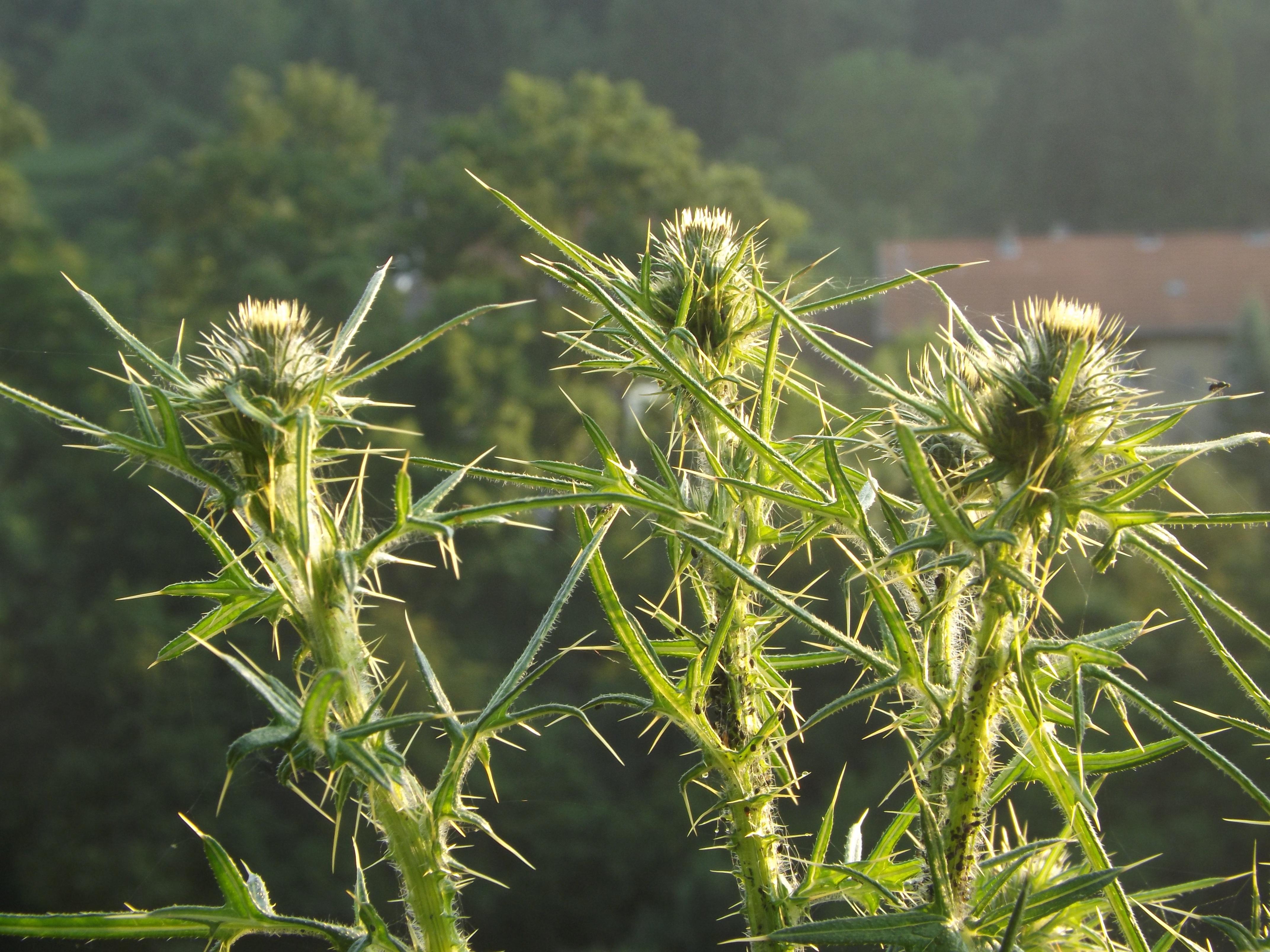 Images Gratuites Herbe Epineux Prairie Prairie Fleur Vert