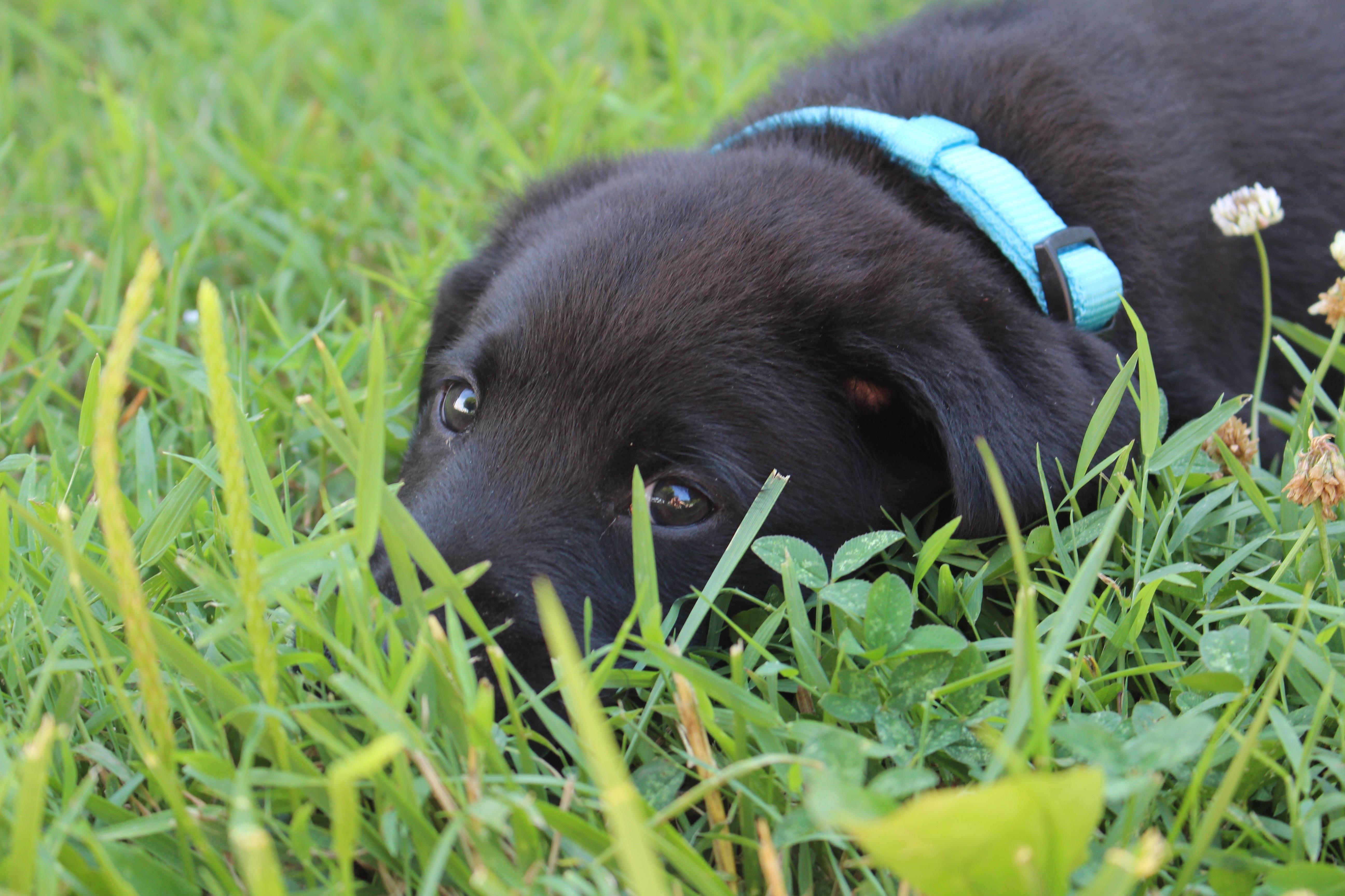 Good Labrador Retriever Black Adorable Dog - grass-puppy-dog-cute-pet-mammal-playing-black-playful-little-vertebrate-labrador-retriever-adorable-labrador-retriever-dog-like-mammal-dog-breed-group-906730  Snapshot_344723  .jpg