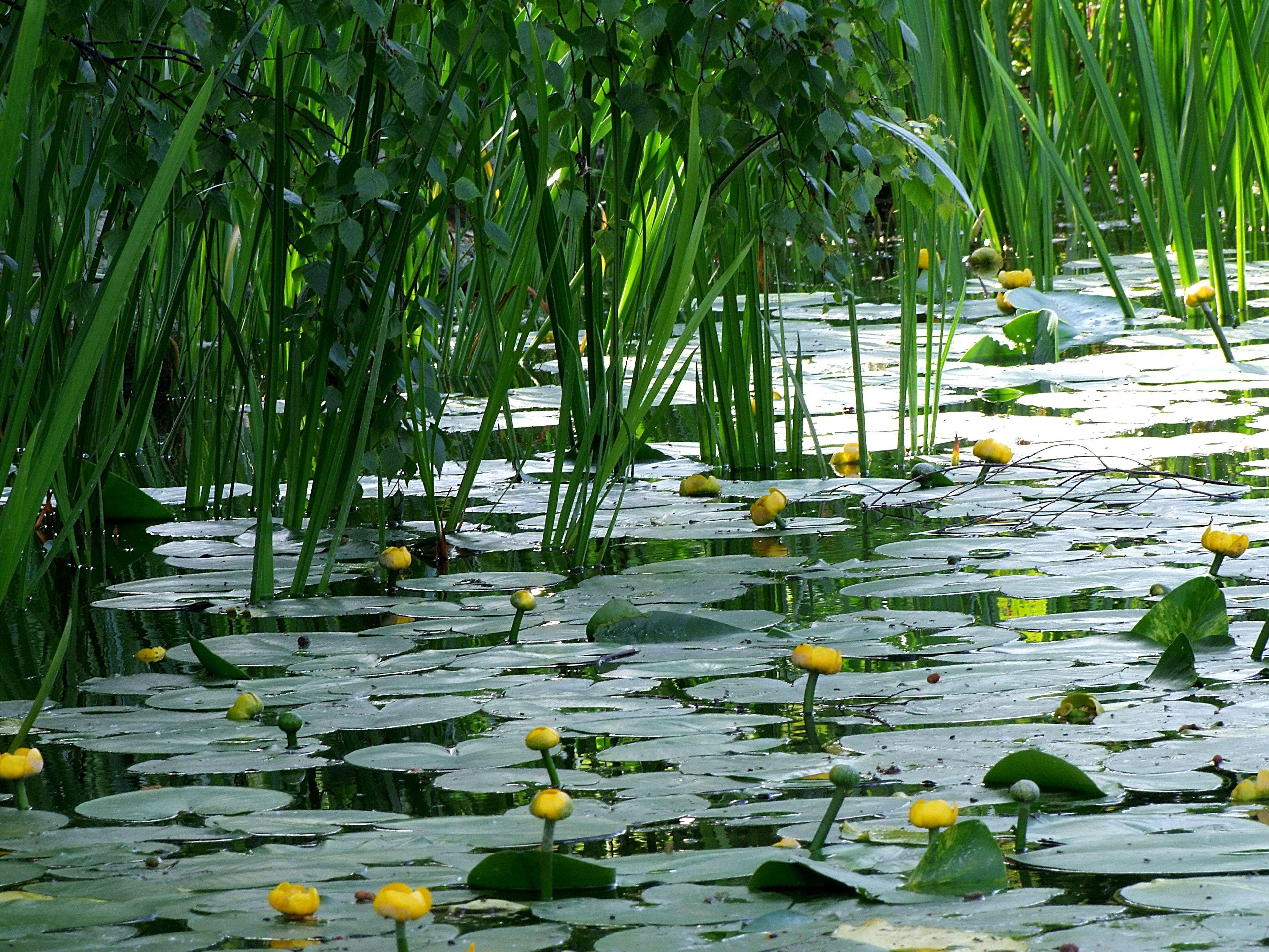 Gratuites herbe marais fleur plante feuille