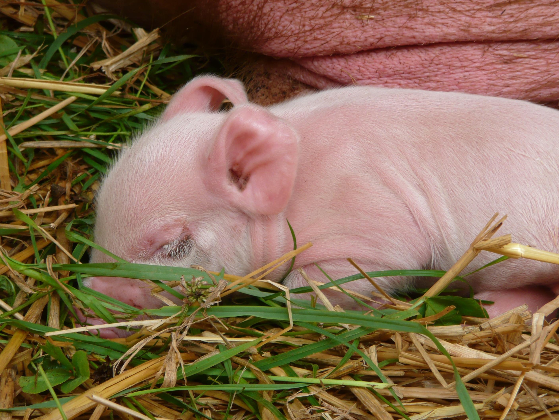 свинья травяная фото вкусных