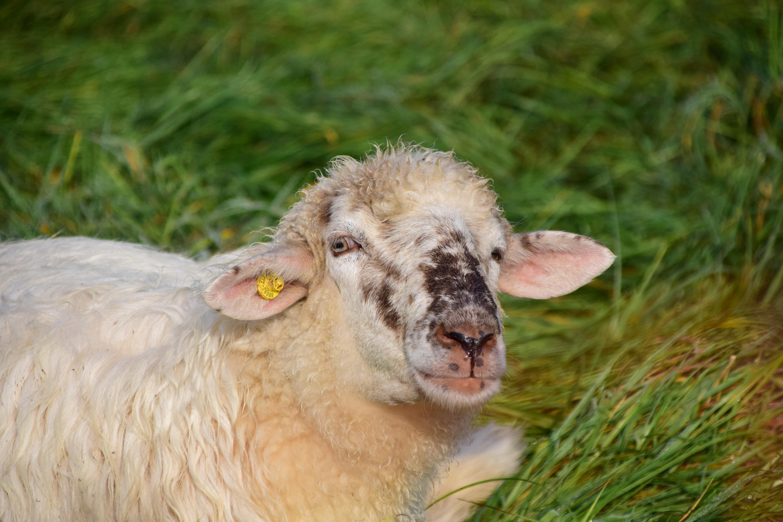 Images gratuites herbe prairie vue animal fourrure - Photos de moutons gratuites ...