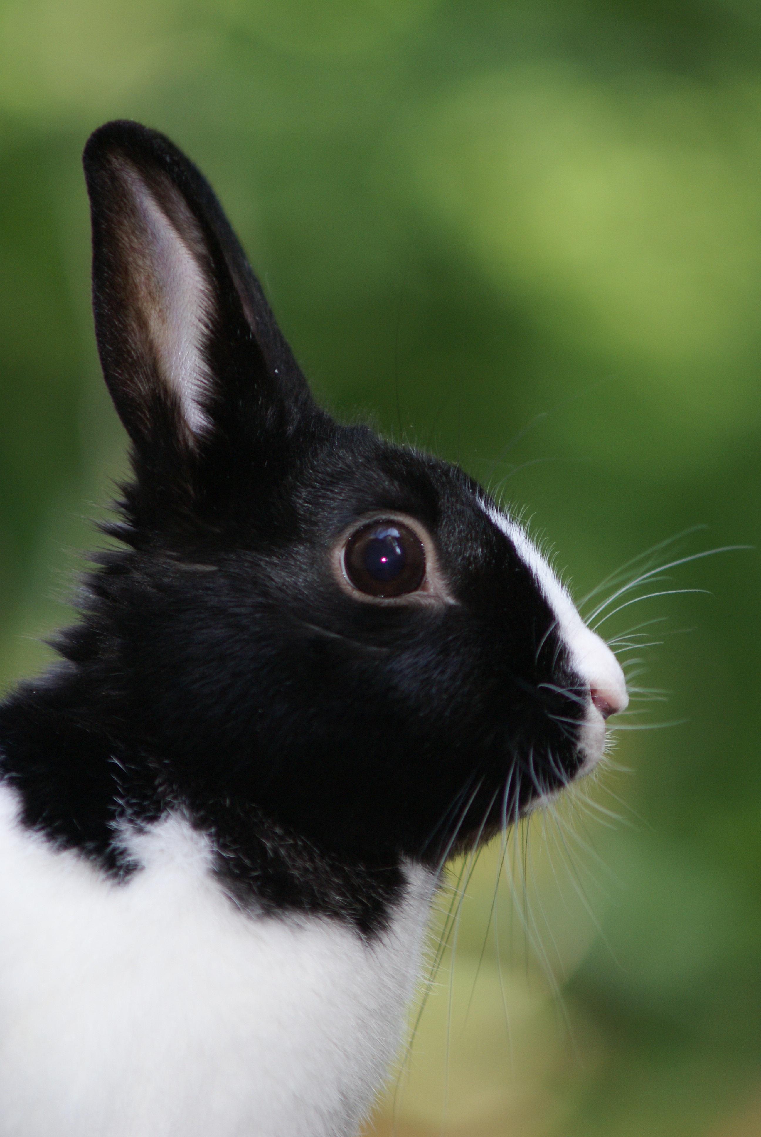 51+ Gambar Binatang Kelinci Hitam Putih Gratis Terbaik
