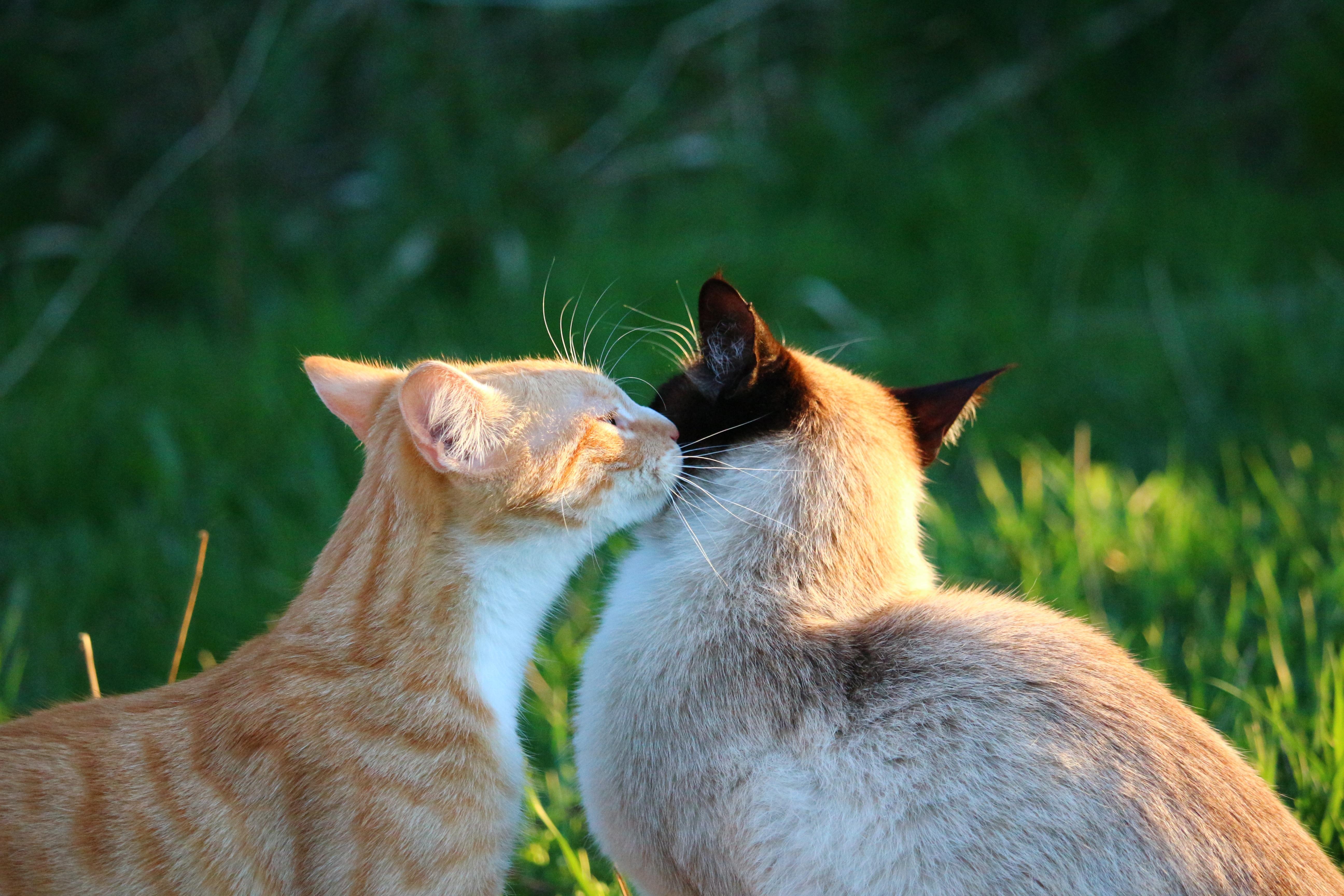Darmowe Zdjęcia Trawa Dzikiej Przyrody Kotek Pocałunek Fauna