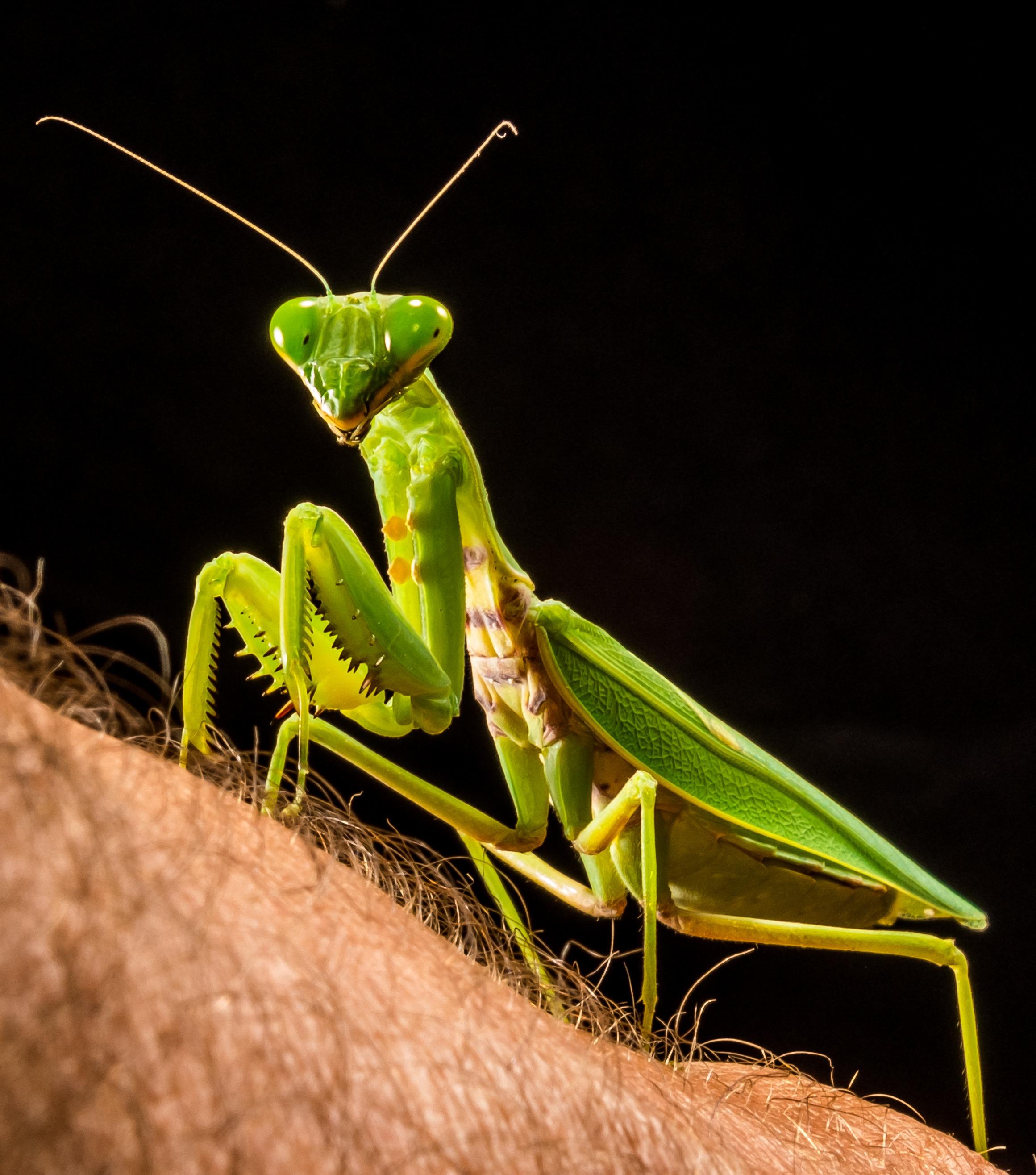 free images green praying mantis fauna invertebrate