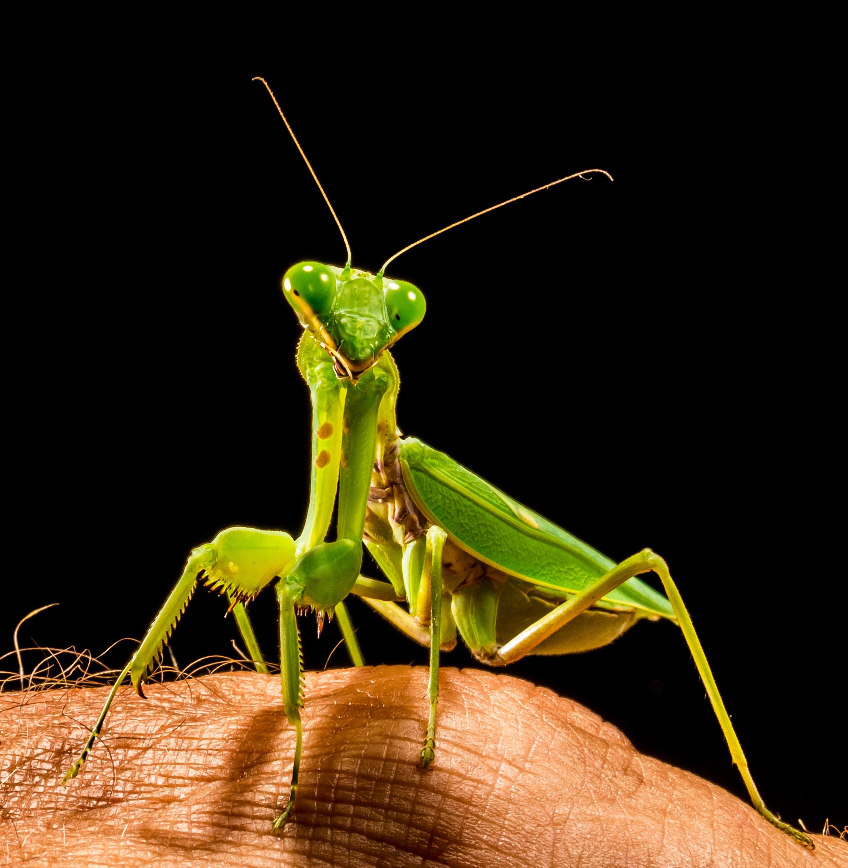 praying mantis deutsch