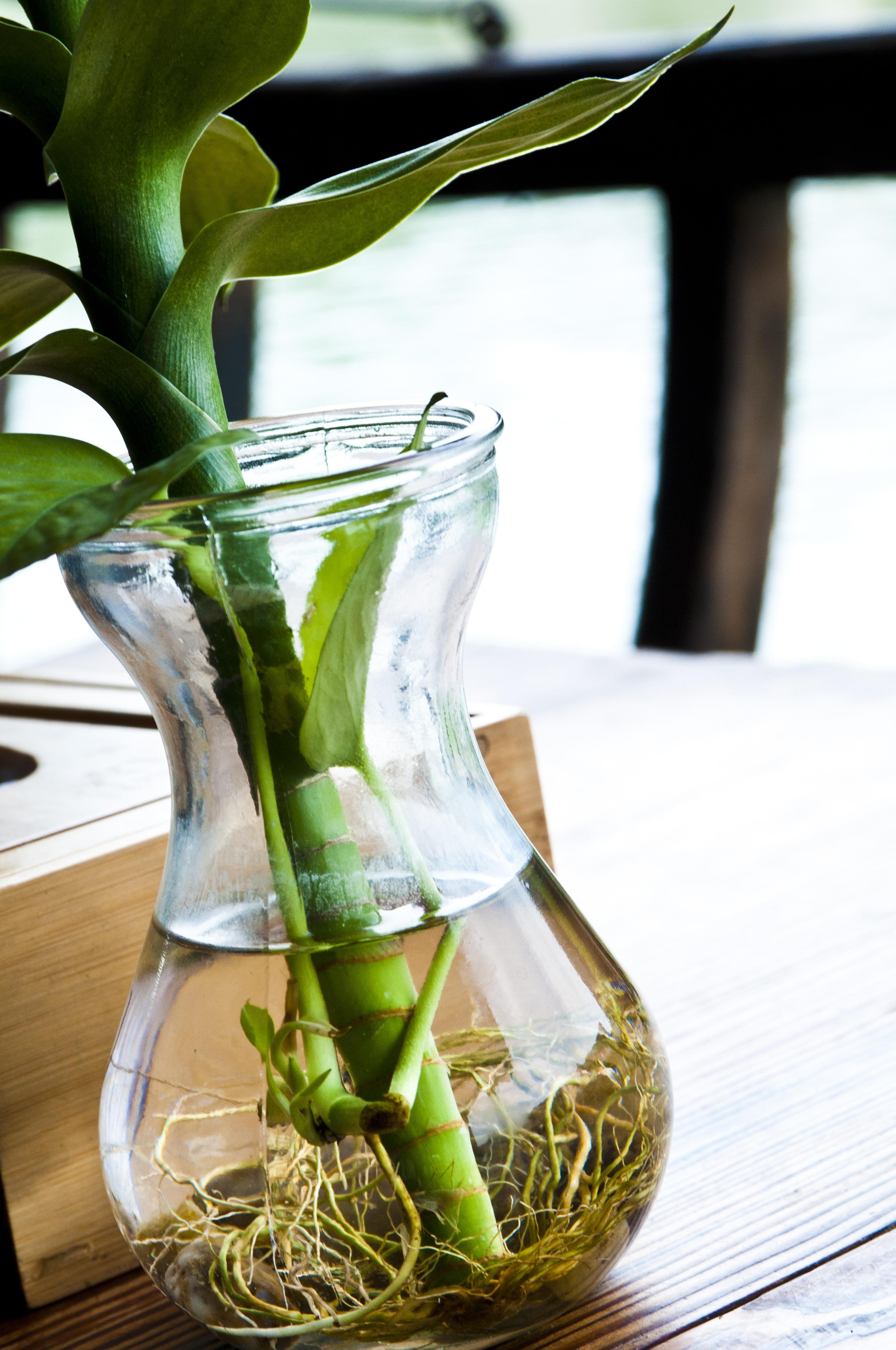 Gambar Pertumbuhan Menanam Bunga Makanan Menghasilkan Alam Minum Akar Kayu Botol Air Tabel Budidaya Bunga Shimizu Daya Hidup Daun Hijau Tanaman Berbunga 2848x4288 522578 Galeri Foto Pxhere