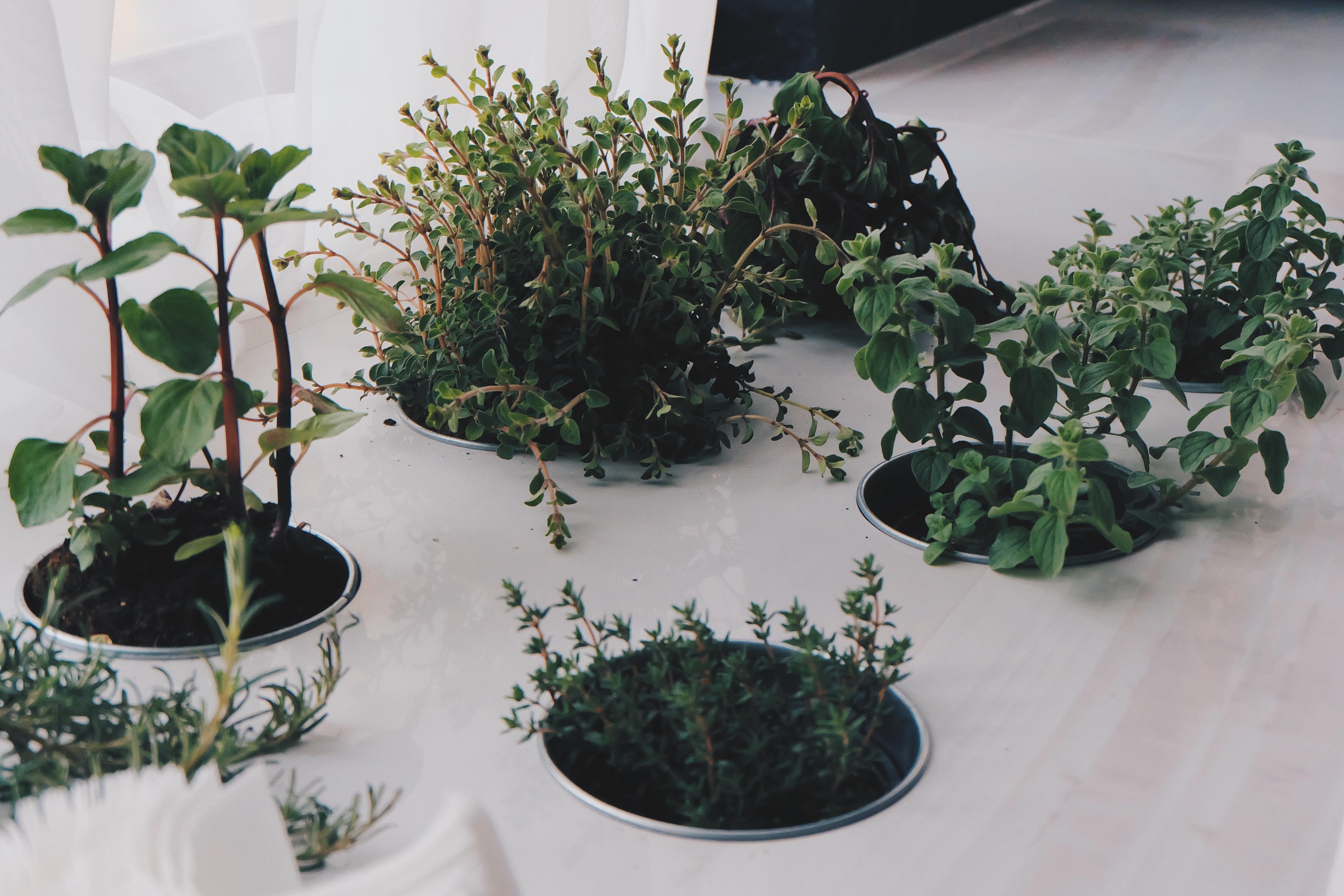 Coltivare In Casa Piante Aromatiche immagini belle : crescita, foglia, fiore, cibo, verde