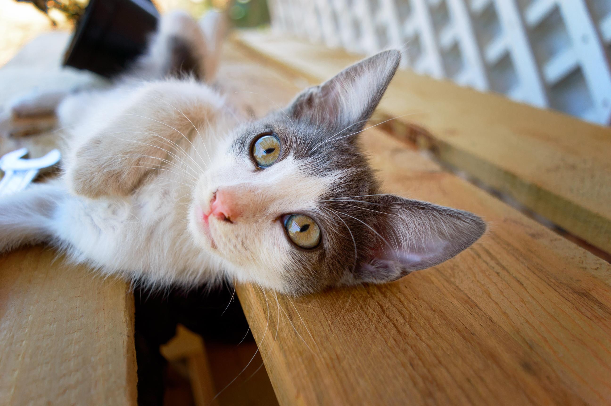 cat cats animal loving cute kitten kitty pet fur skin mammal domestic hair feline close portrait nose whiskers sized adorable