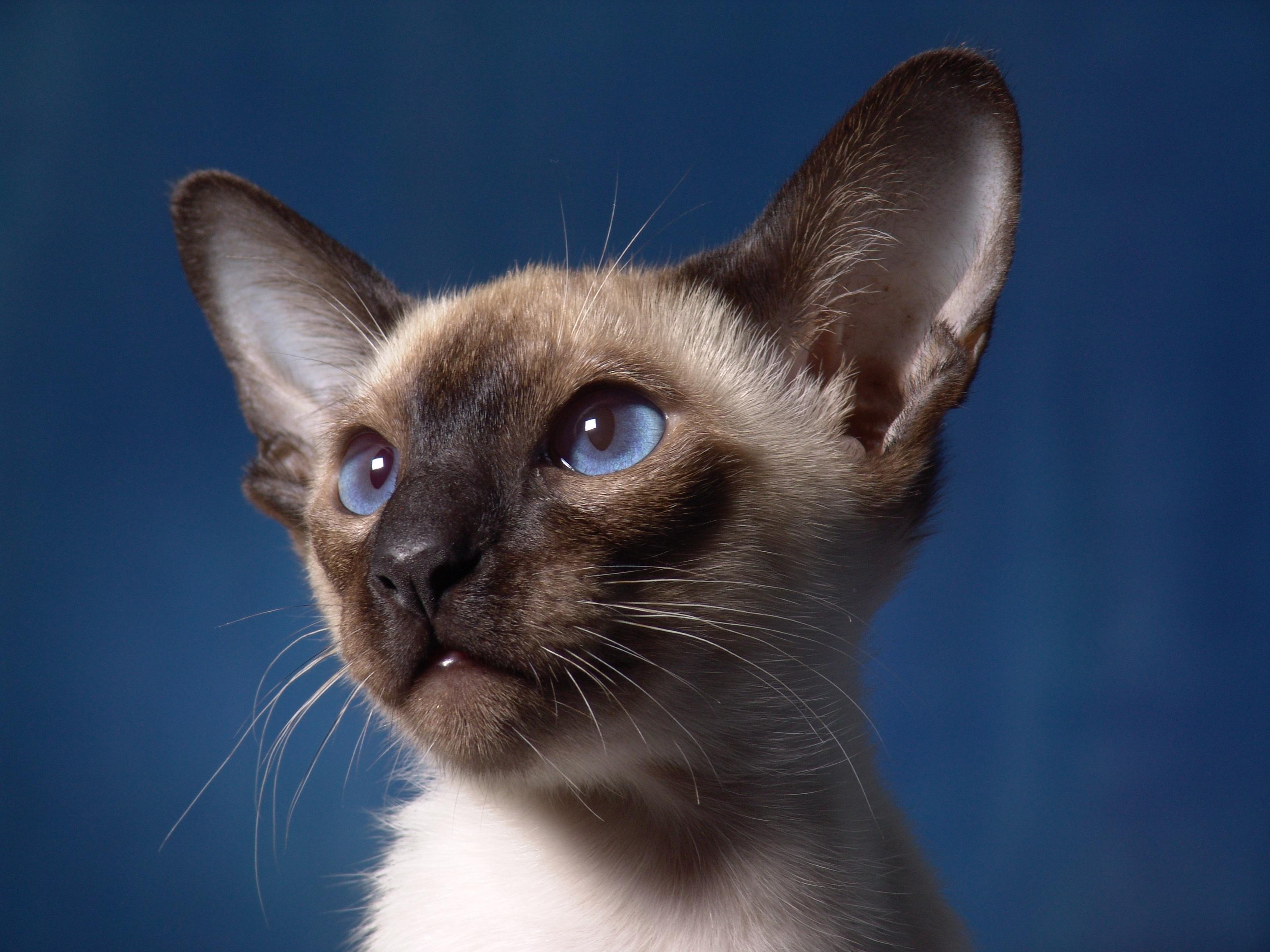 Medieum Haired Cat