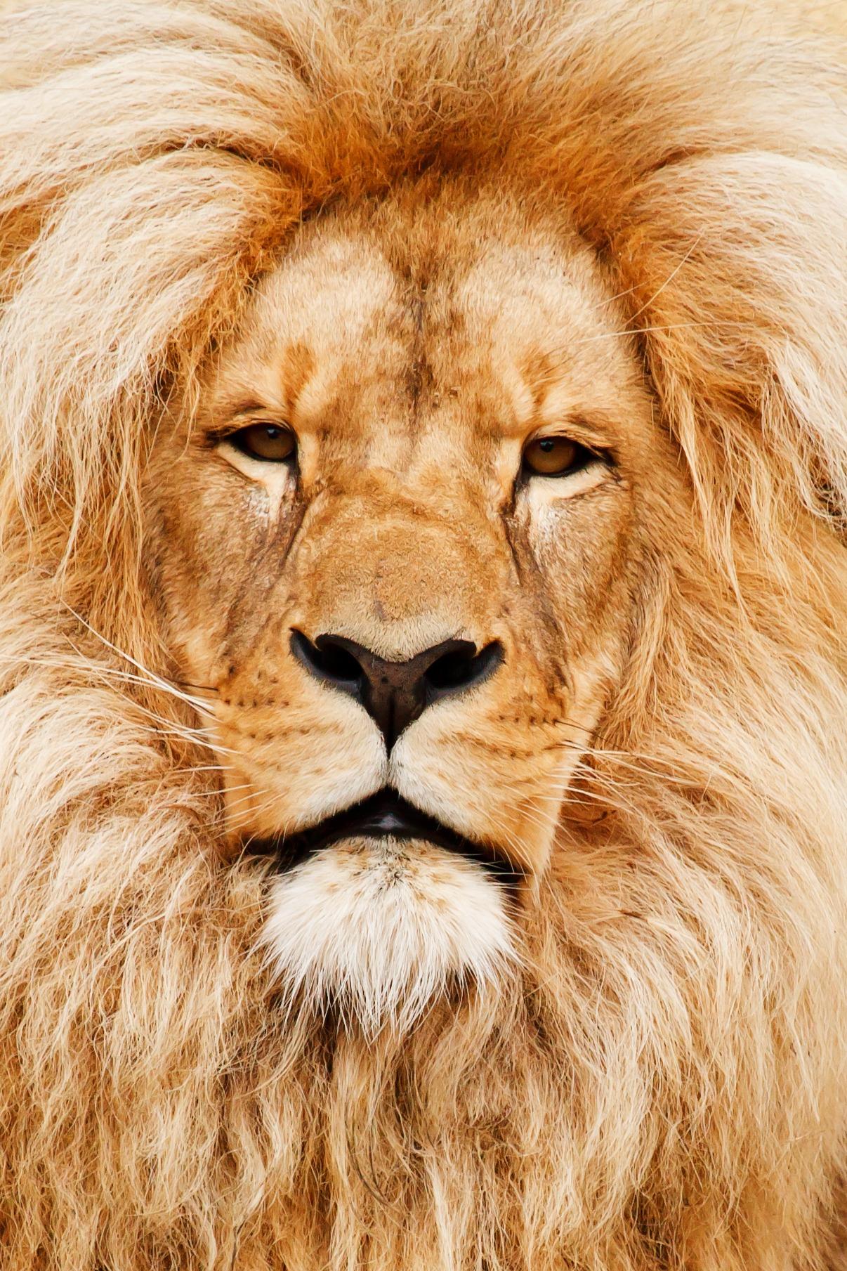 free images hair animal male wildlife zoo fur portrait