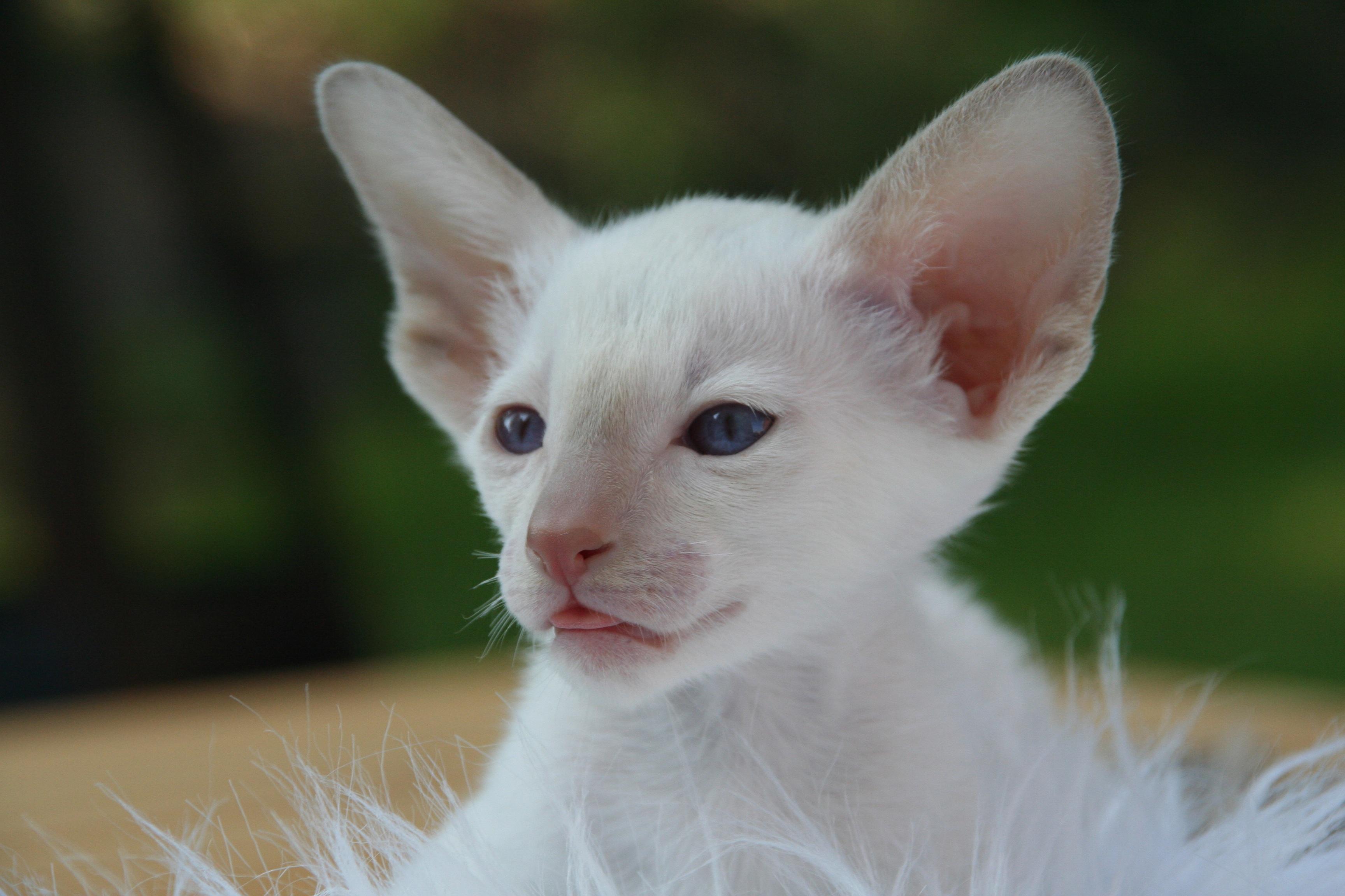 Free Images Hair White Animal Cute Pet Fur Portrait Green