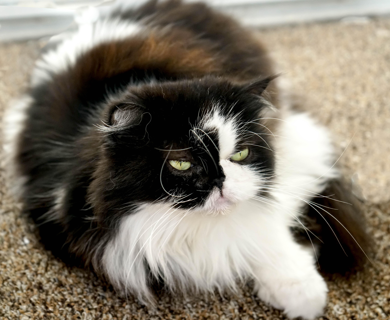 сборники кот перс картинки черно-белые тебя творческое