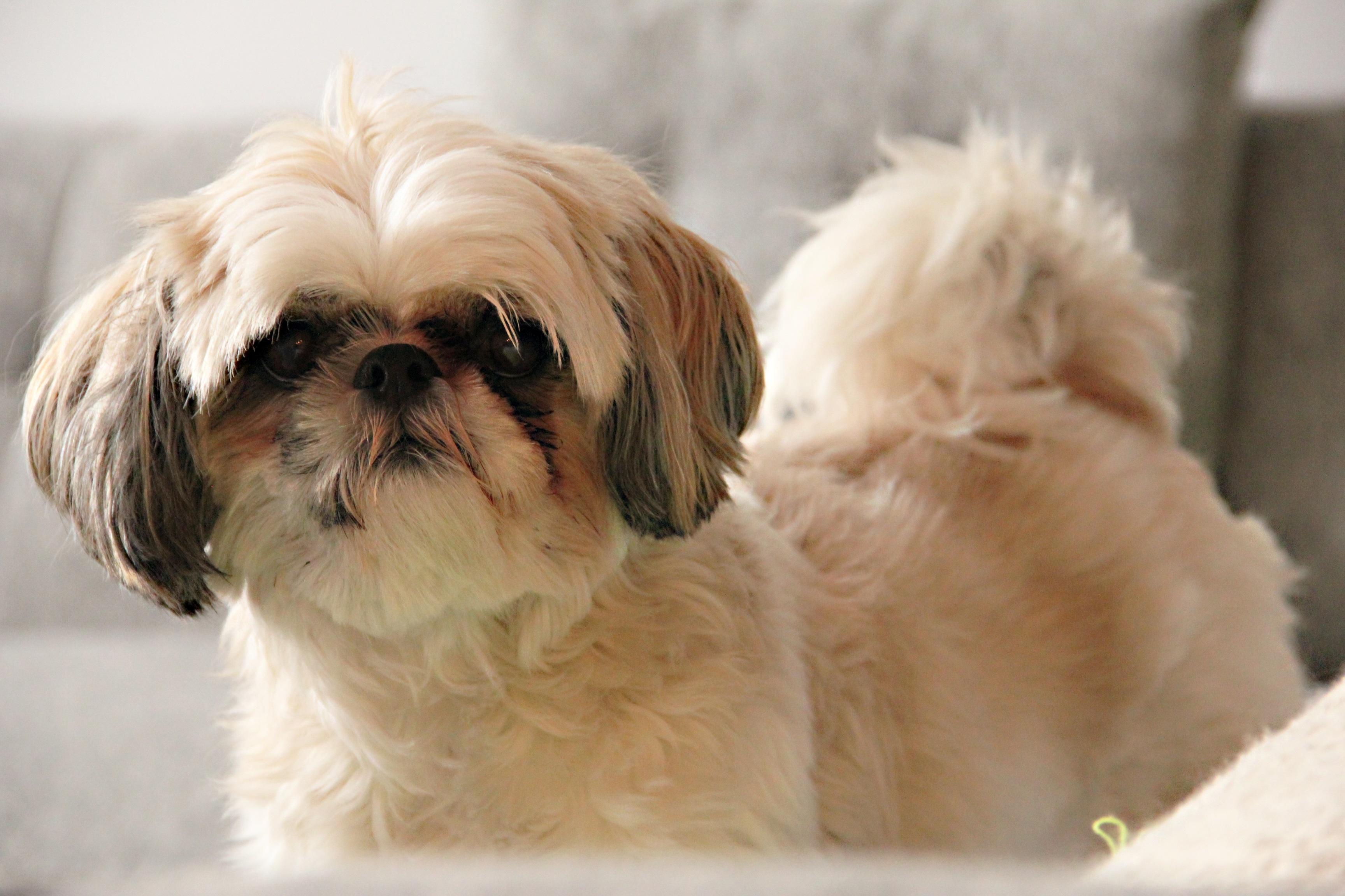 Gratis afbeeldingen haar wit divan hoofd gewerveld grappig lhasa apso shih tzu hond - Chat qui perd pas ses poils ...