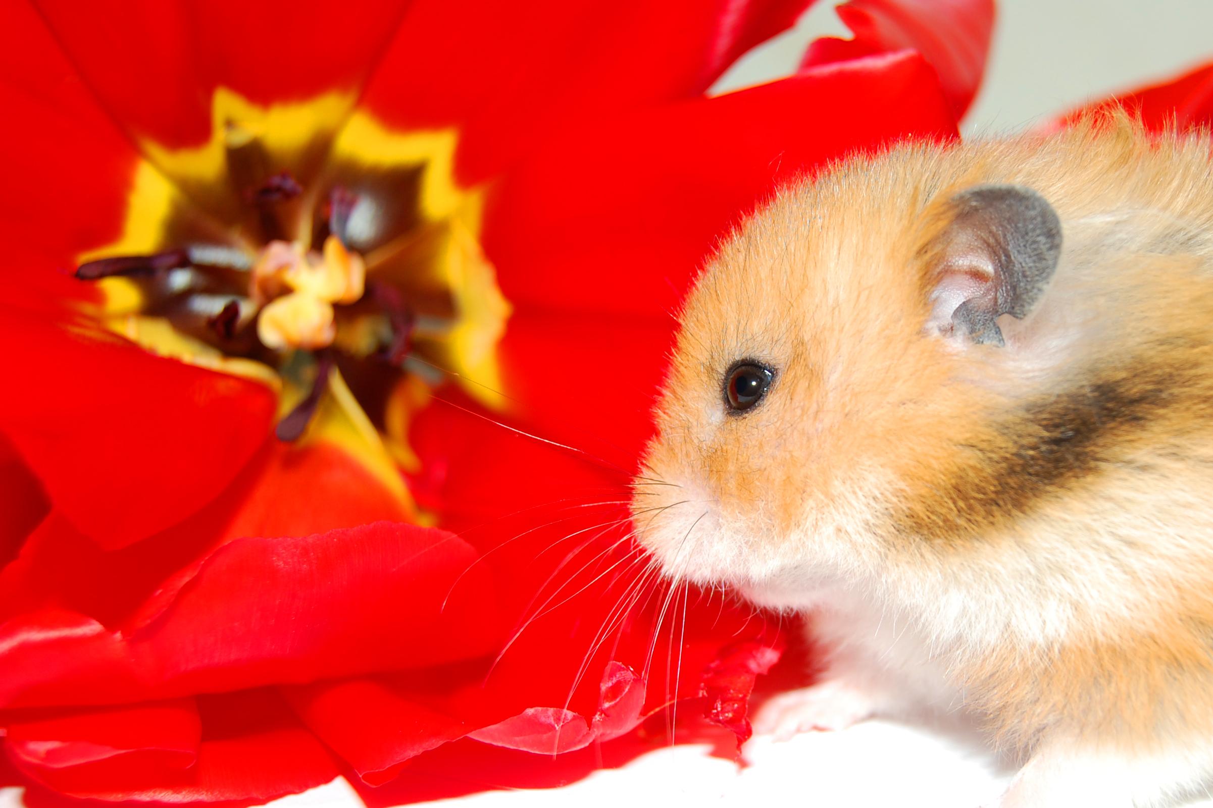 Kostenlose foto : Hamster, März, Frühling, Blumen, rot, Sitzung ...