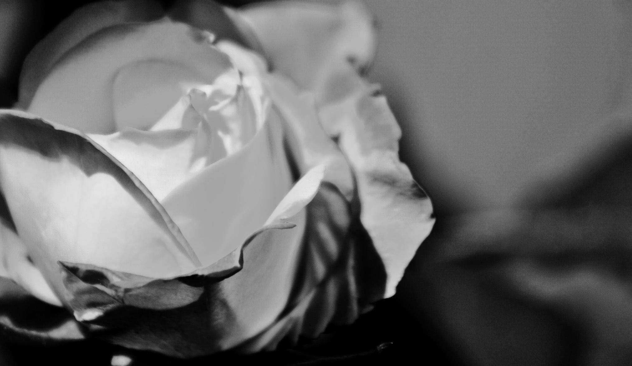 Gambar Tangan Hitam Dan Putih Daun Bunga Bunga Mawar