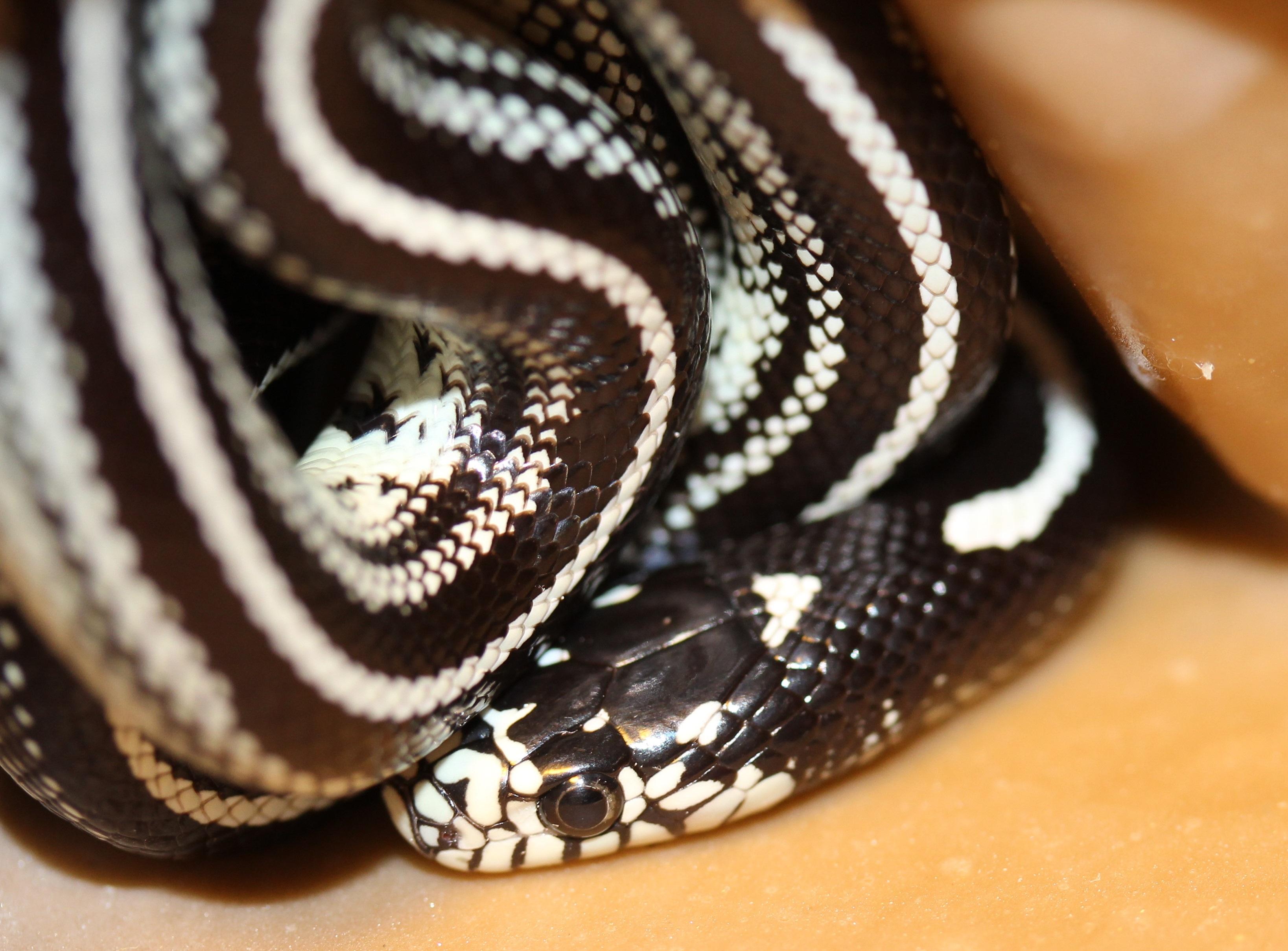 hình ảnh : ngón tay, Bò sát, gần, Đóng lên, động vật, con rắn, Động vật có xương sống, Natter, loài, Con rắn, Động vật máu lạnh, Sọc đen và trắng, ...