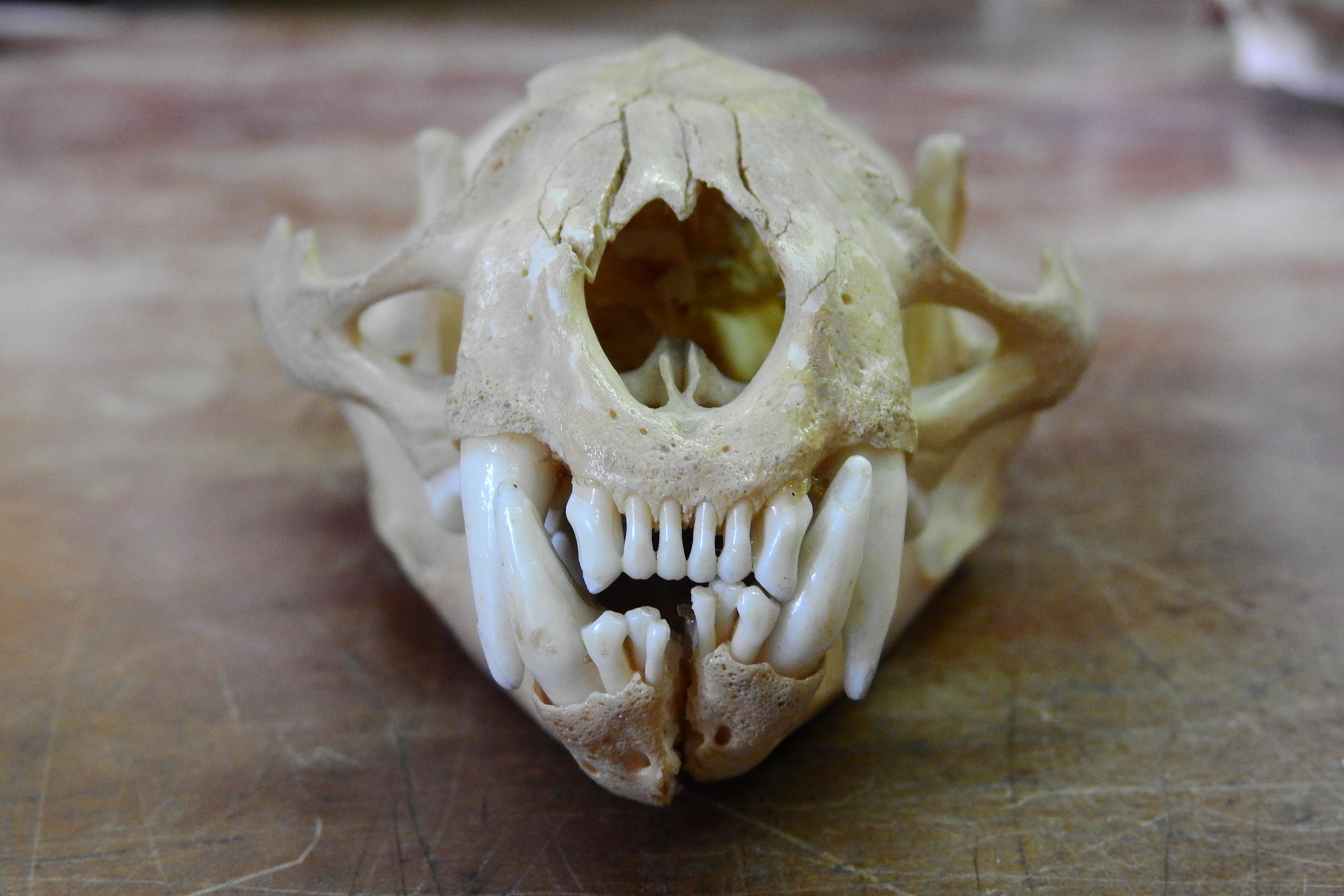 Free Images : hand, horn, feline, skull, bone, human body