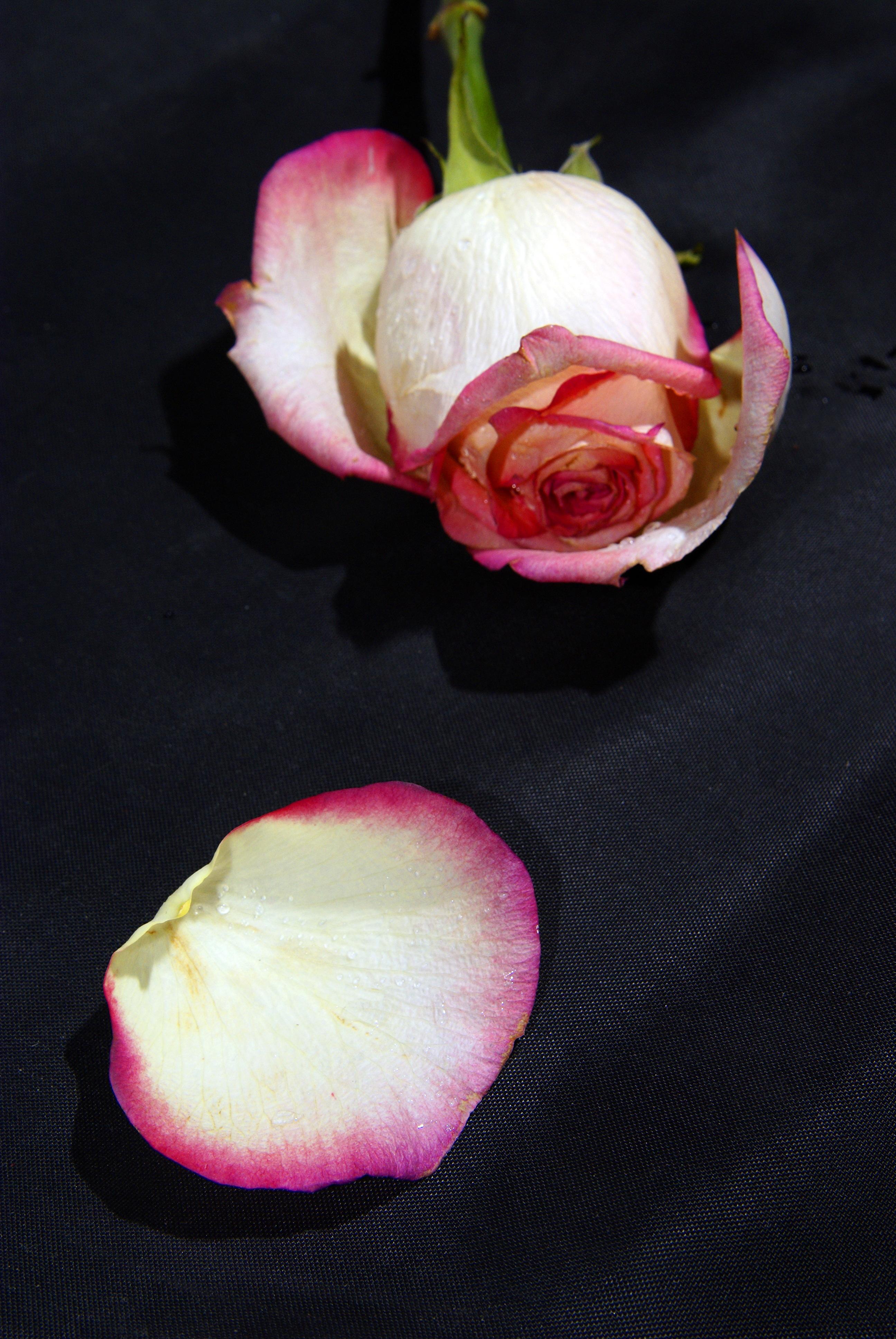 images gratuites : main, feuille, fleur, pétale, tristesse, rouge