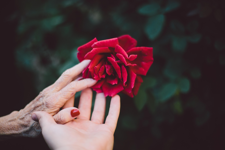 Картинки рука держит розу