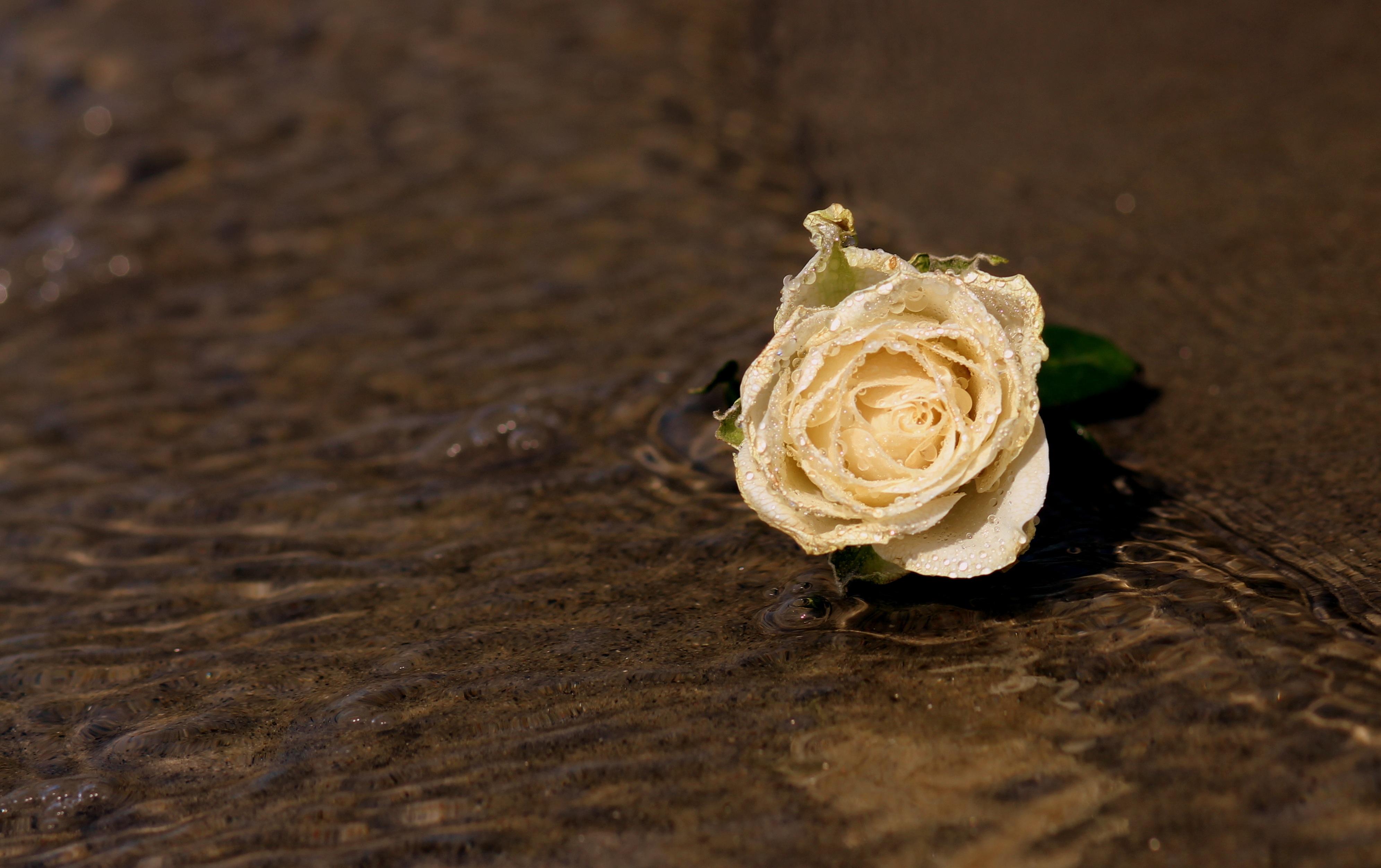 Фото красная белая роза на воде многие покупатели