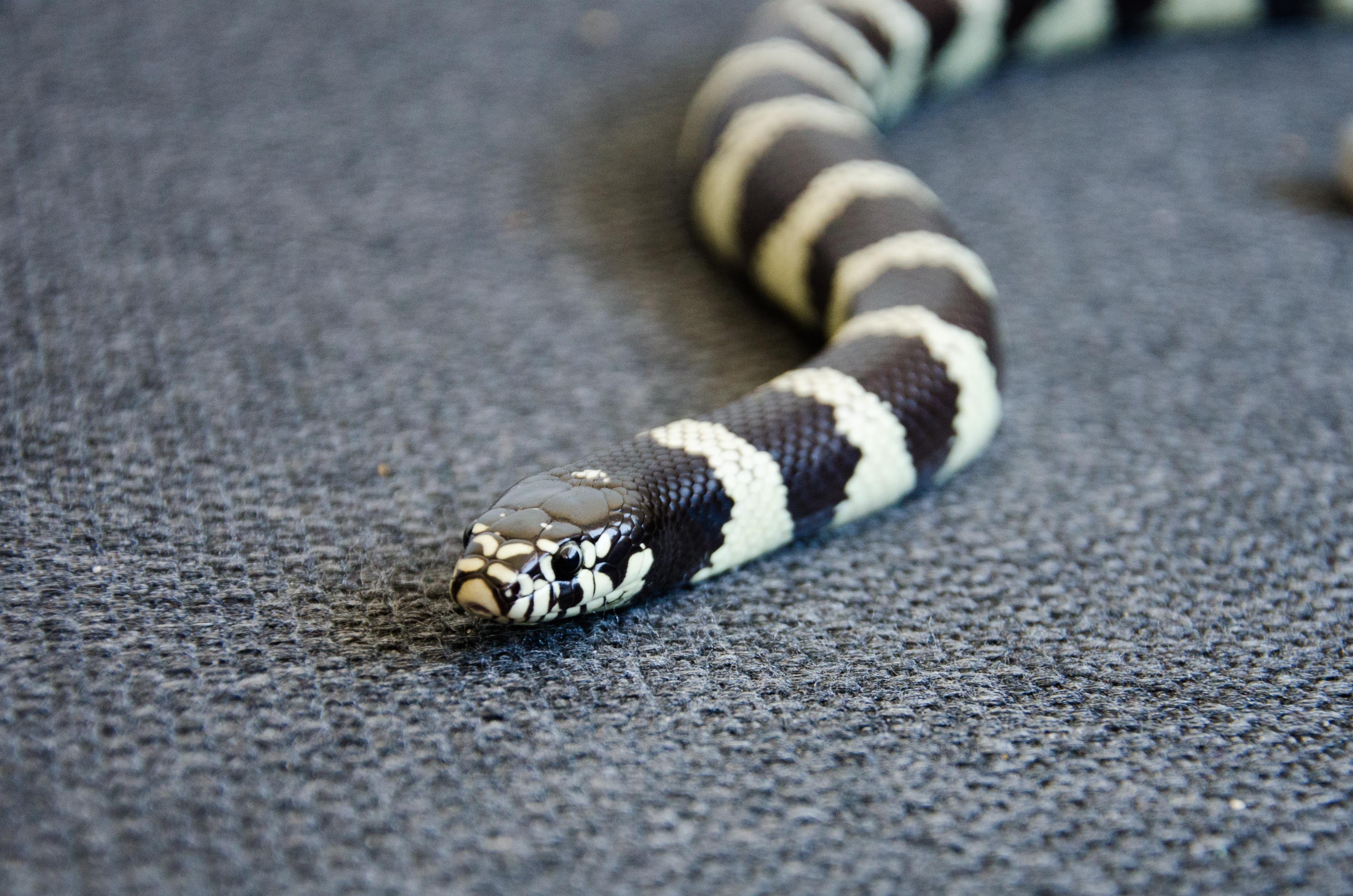 hình ảnh : tay, trắng, thú vật, Động vật hoang dã, màu xanh da trời, Bò sát, đen, California, Động vật, Đóng lên, cái đầu, con rắn, Động vật có xương sống, ...