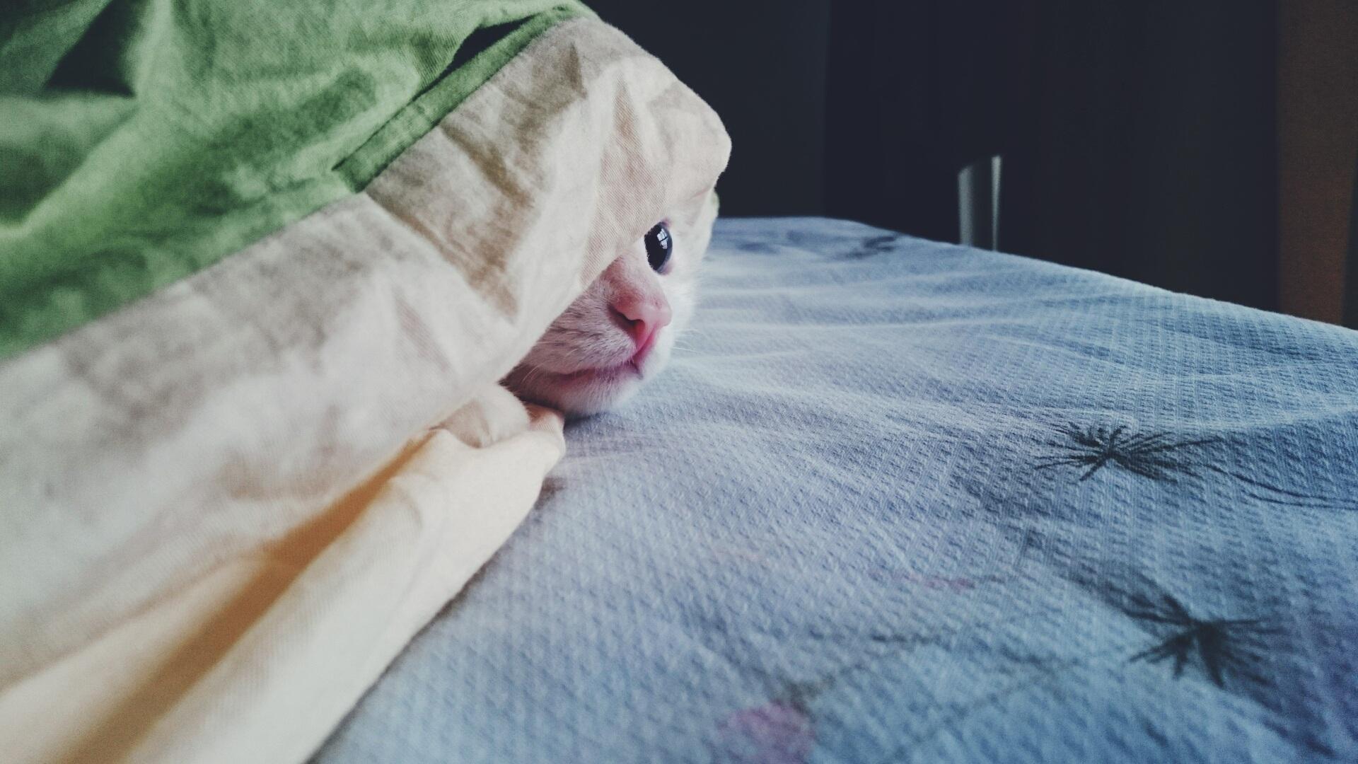 Gambar Cari Jual Anak Kucing Persia Hidung Pesek Warna