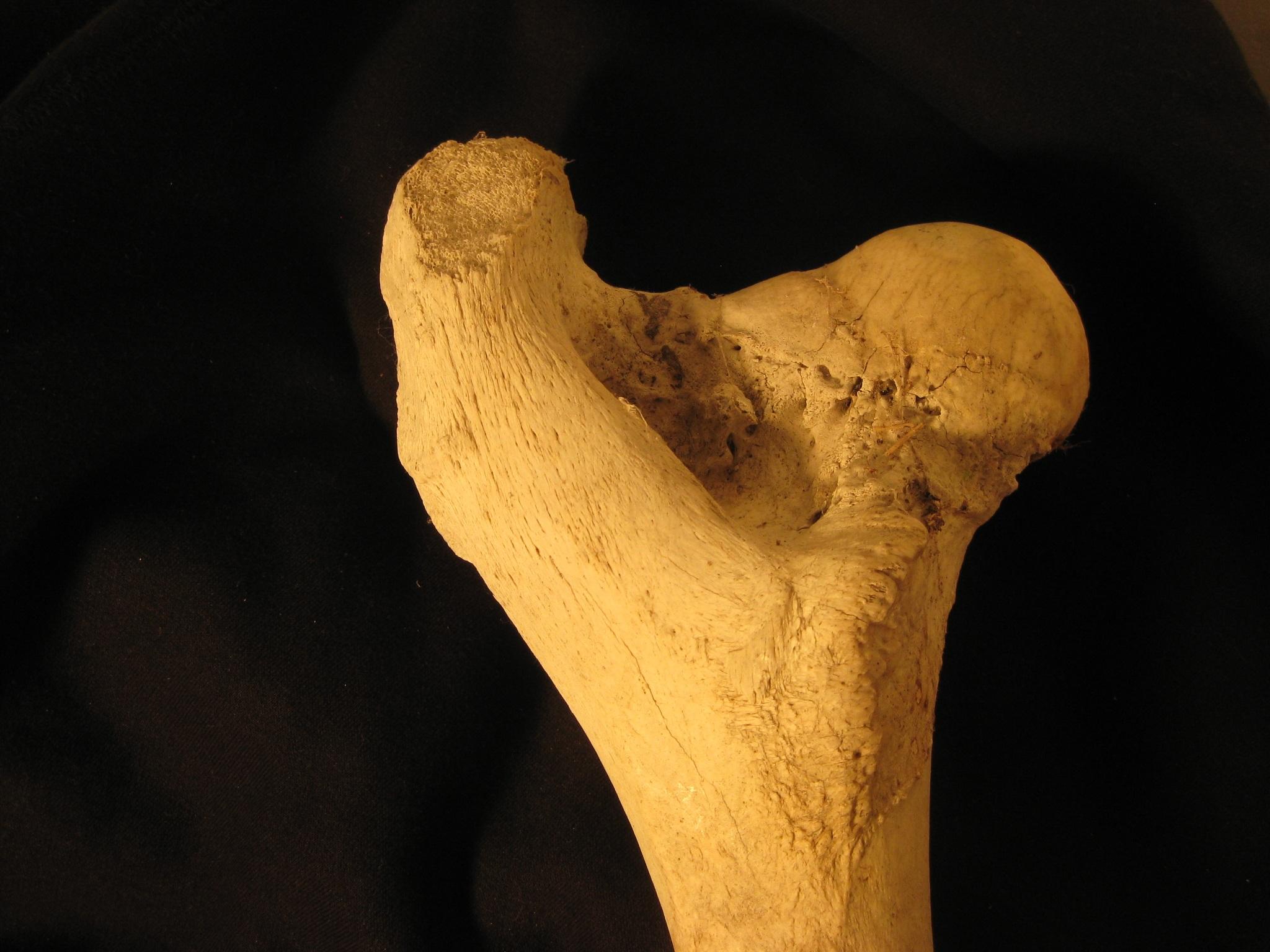 Fotos gratis : mano, madera, hoja, pierna, biología, cráneo, bovino ...