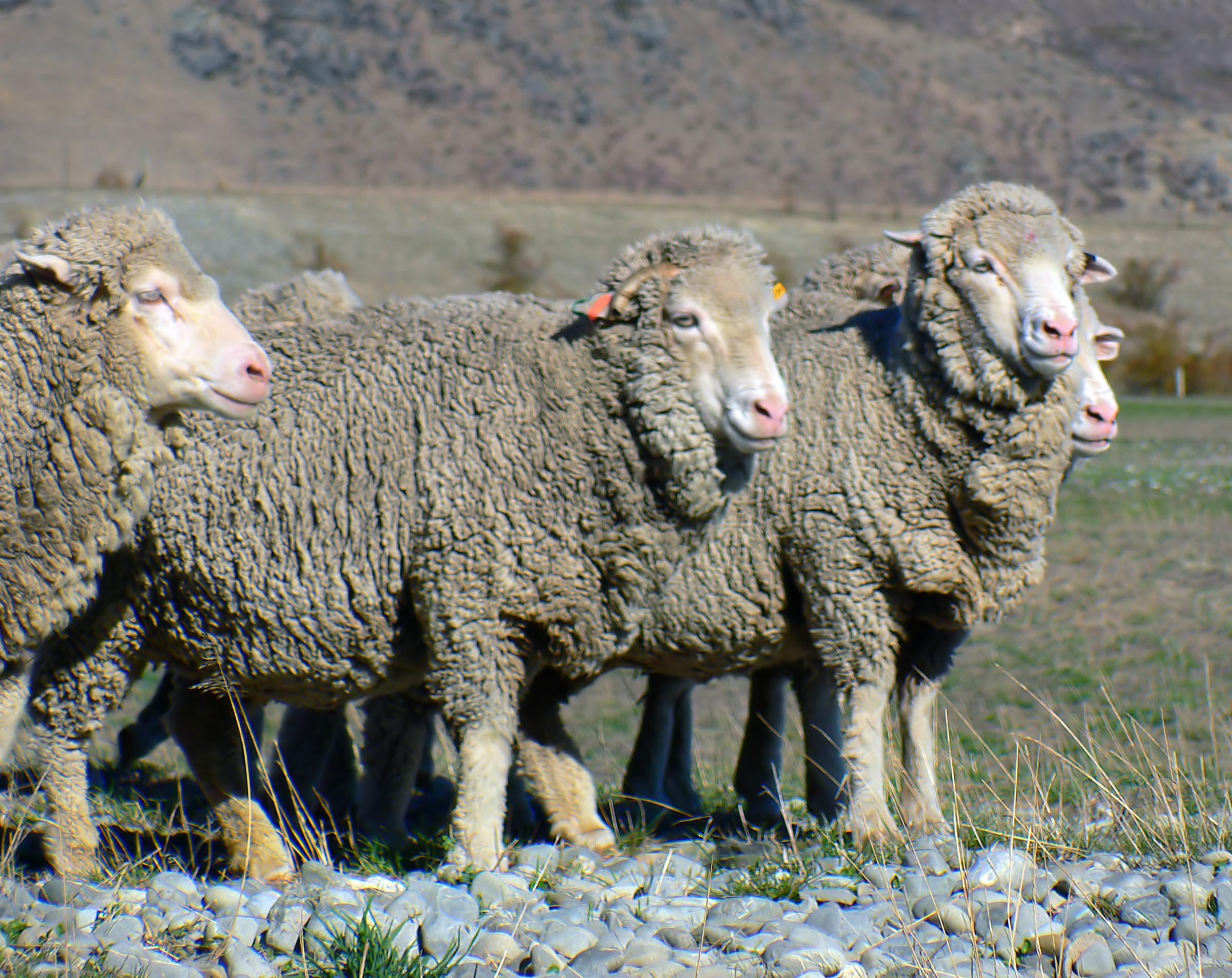 фото овцы спрятались них лежит