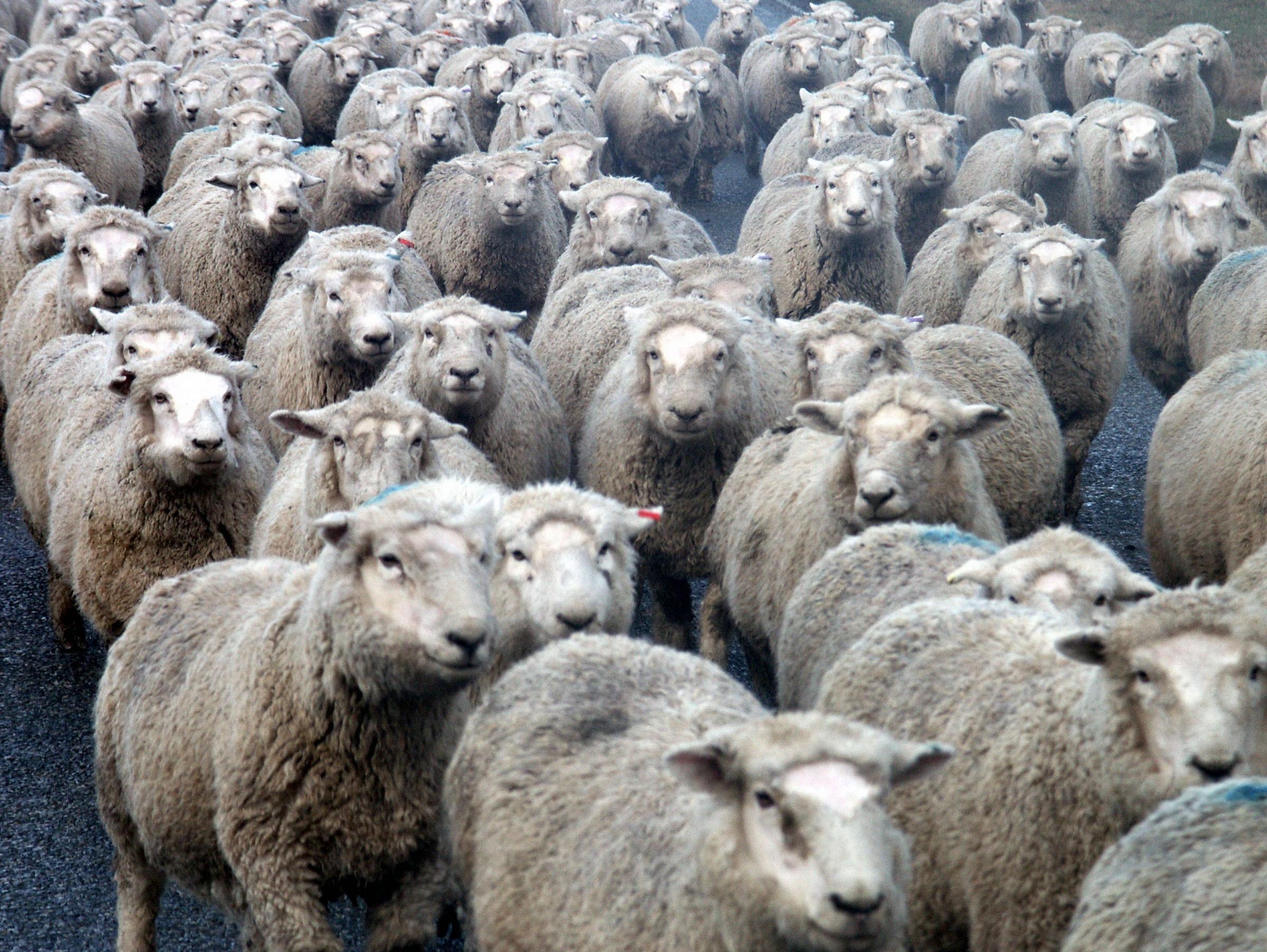 Пожеланиями, много овечек картинка