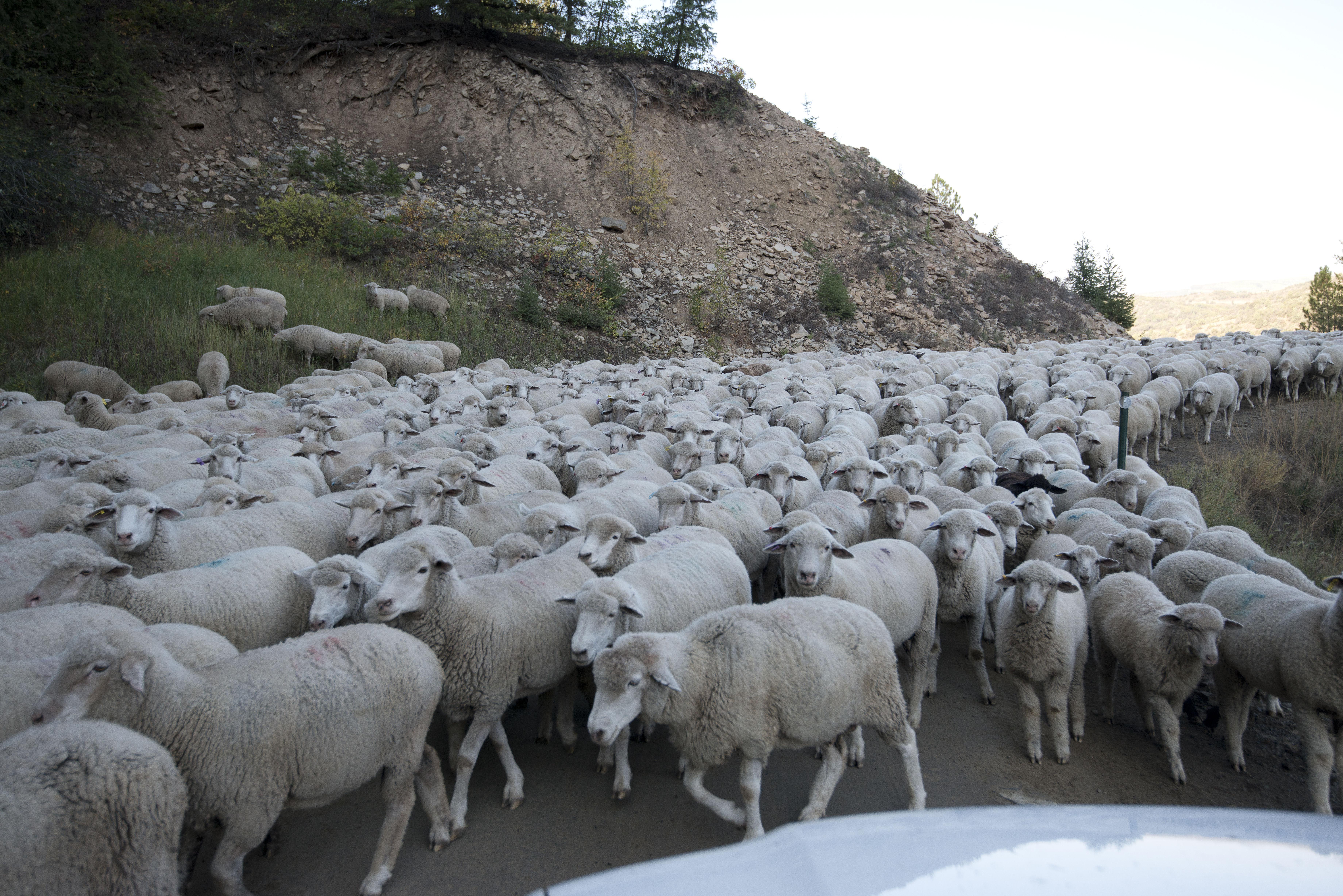 Много овечек картинка, день. открытки поздравления