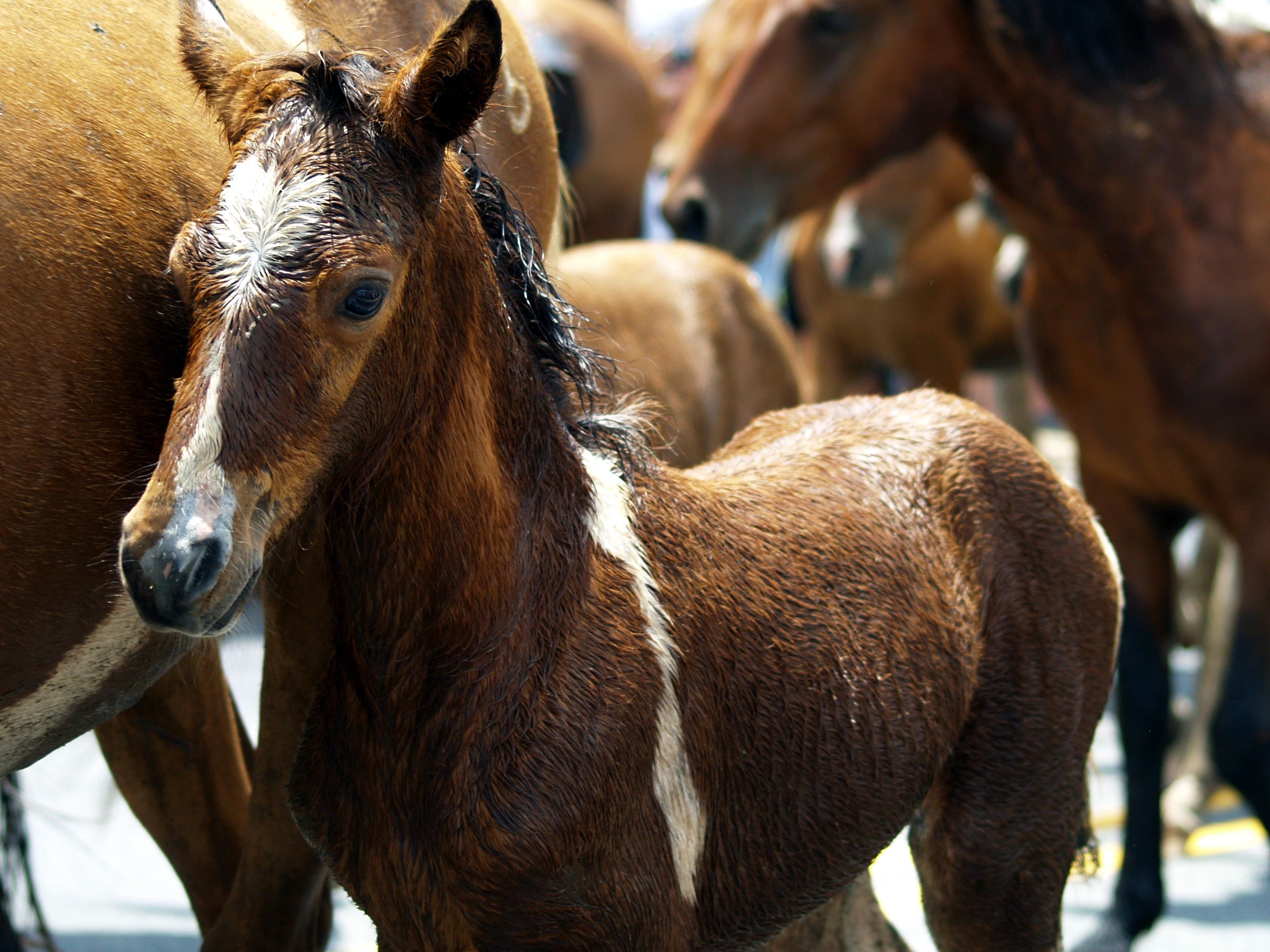 free images herd stallion mane fauna horses animals