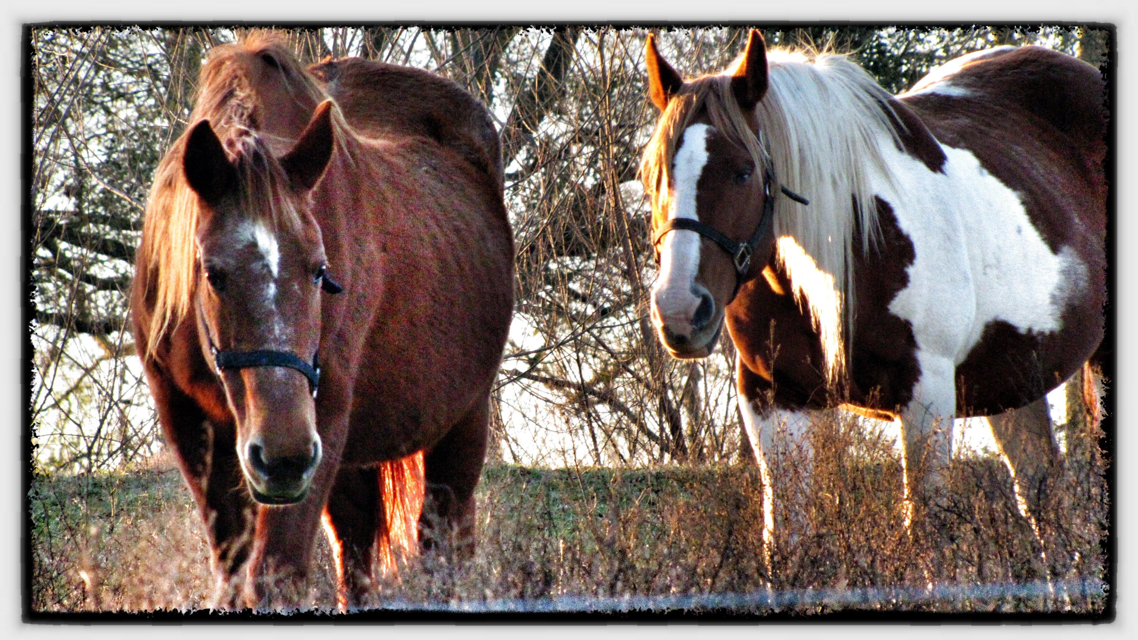 Fotos gratis : manada, pastar, pasto, marrón, semental, melena, dos ...