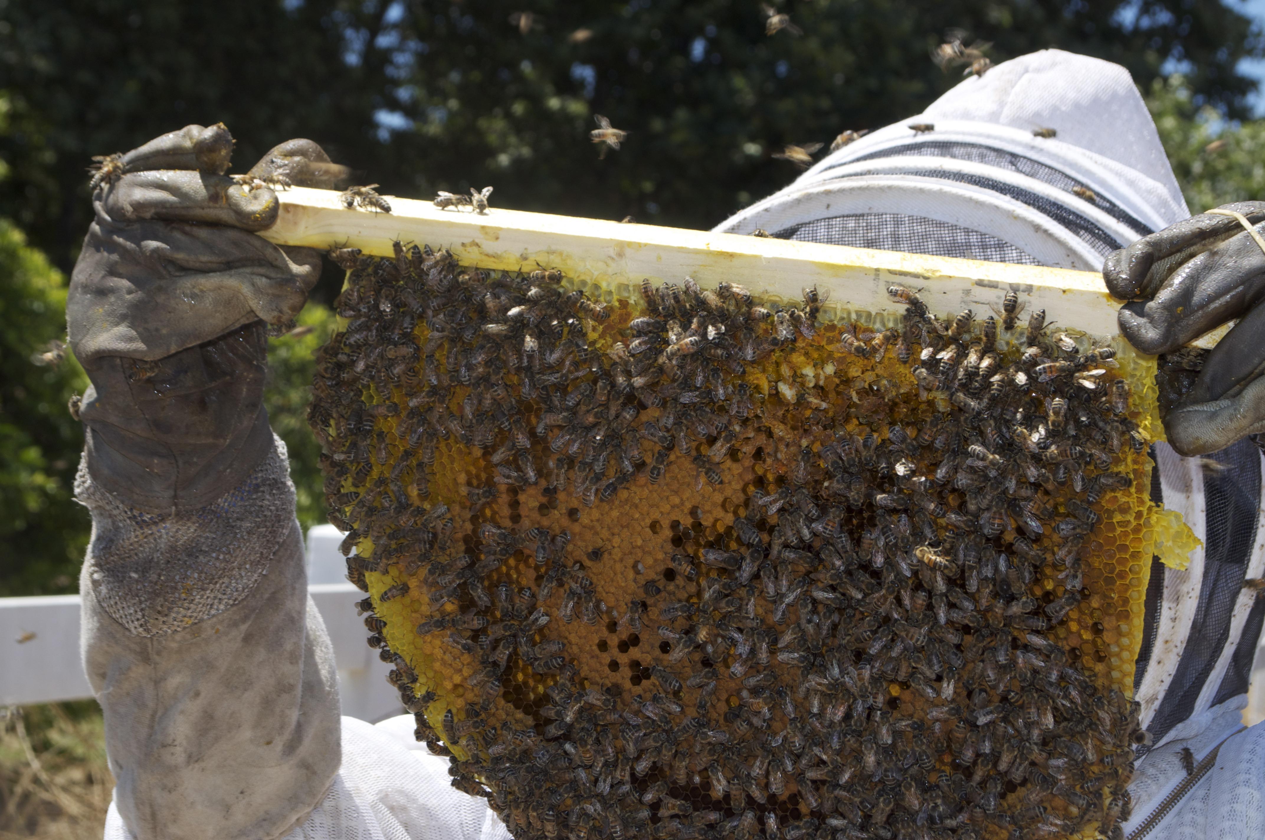 Fotos gratis : insecto, suelo, fauna, invertebrado, apicultor ...