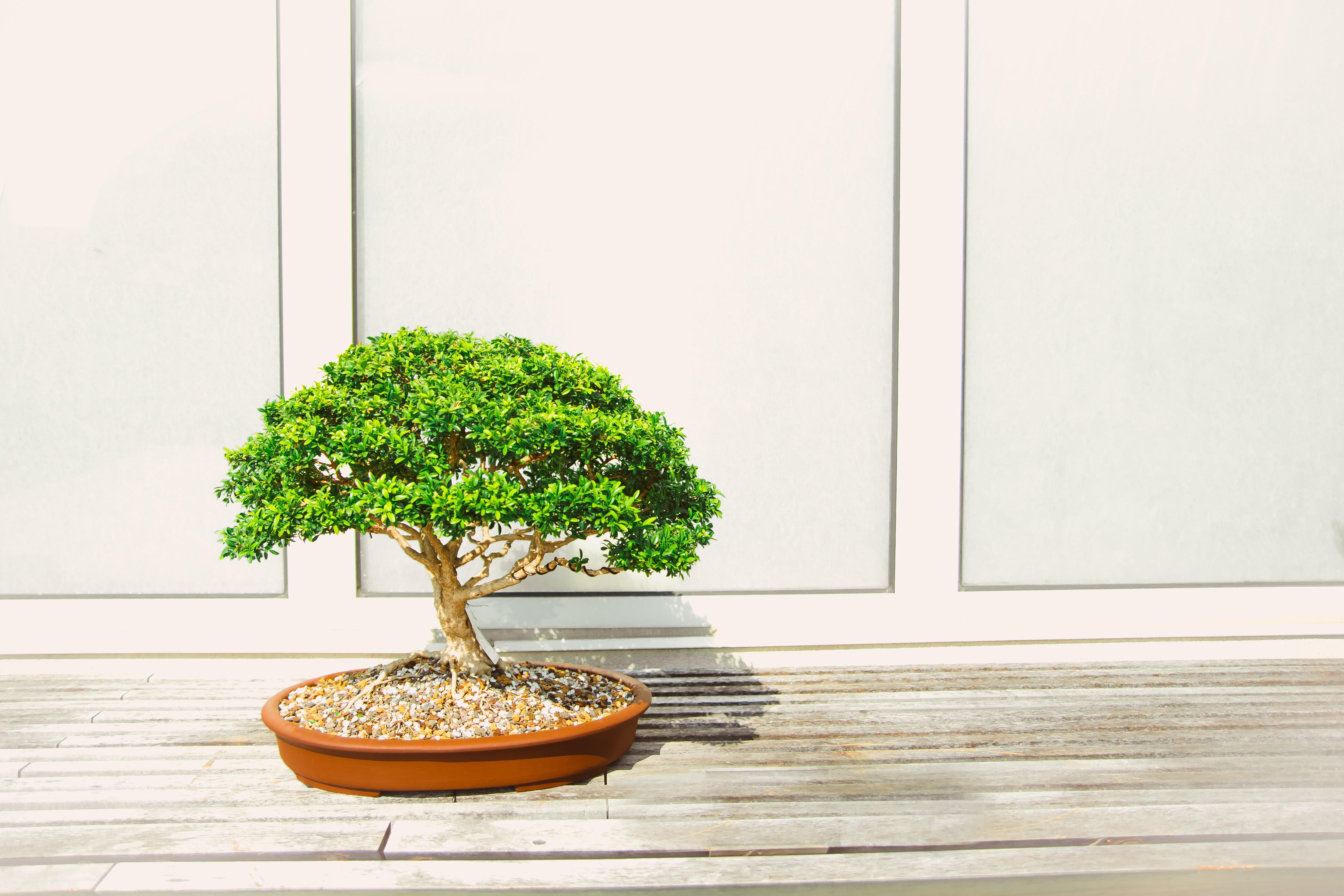 Free Images Houseplant Bonsai Flowerpot Tree Green Woody Plant Flower Sageretia Theezans 5809x3873 1532341 Free Stock Photos Pxhere