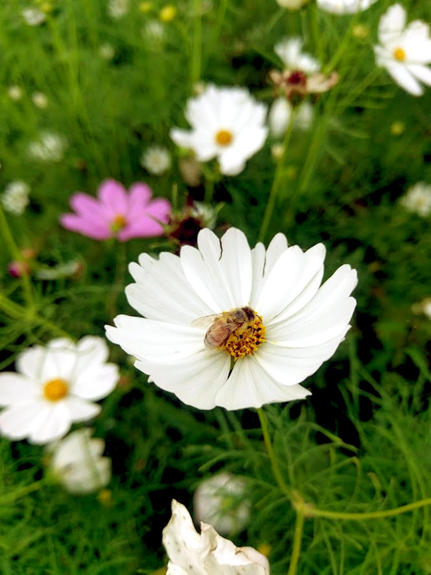 Gambar Hualien Kota Taiwan Tanaman Berbunga Daun Bunga Kosmos Taman Menanam Keluarga Daisy Bunga Liar Botani Rumput Musim Semi Serbuk Sari Asterales Tanaman Tahunan Kosmos Sulfur Tanaman Abadi 1476x1969 Ȋèœœ