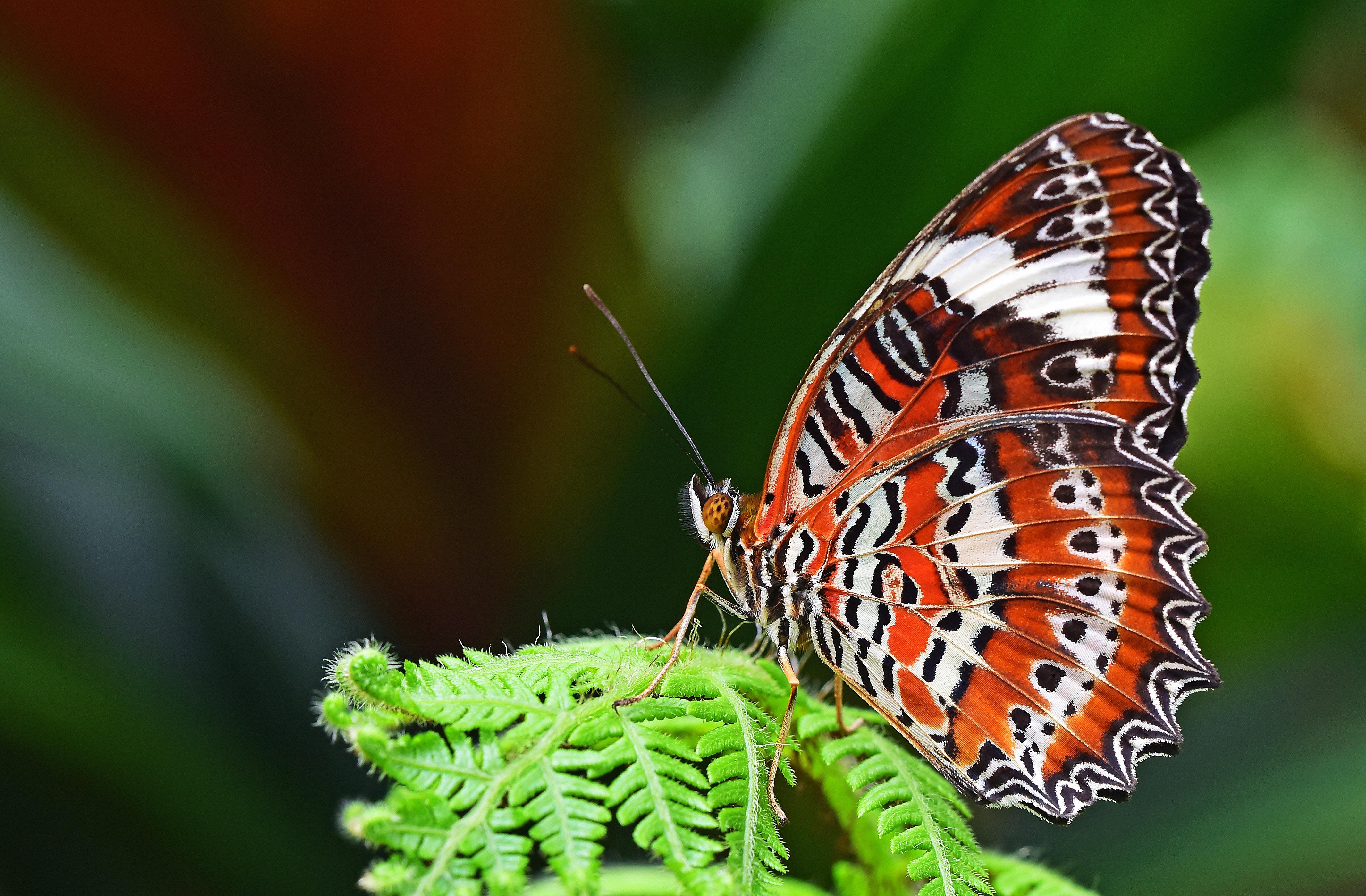Top Images Gratuites : insecte, invertébré, fermer, papillon monarque  ZX21