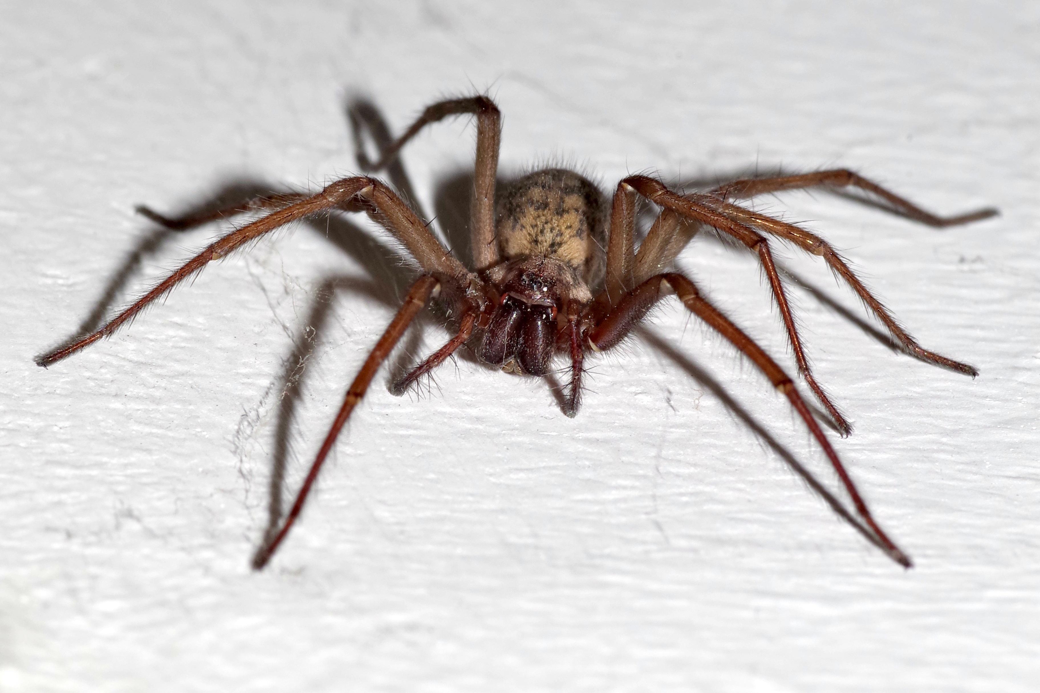 Домовой паук фото любимая