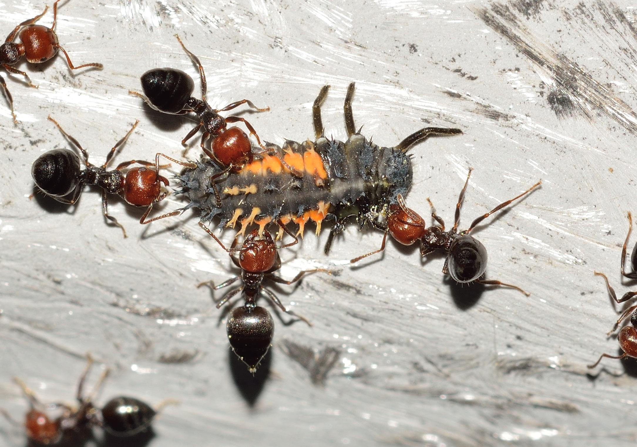 одна насекомое которые едят муравьев картинки дрель, конструктивные