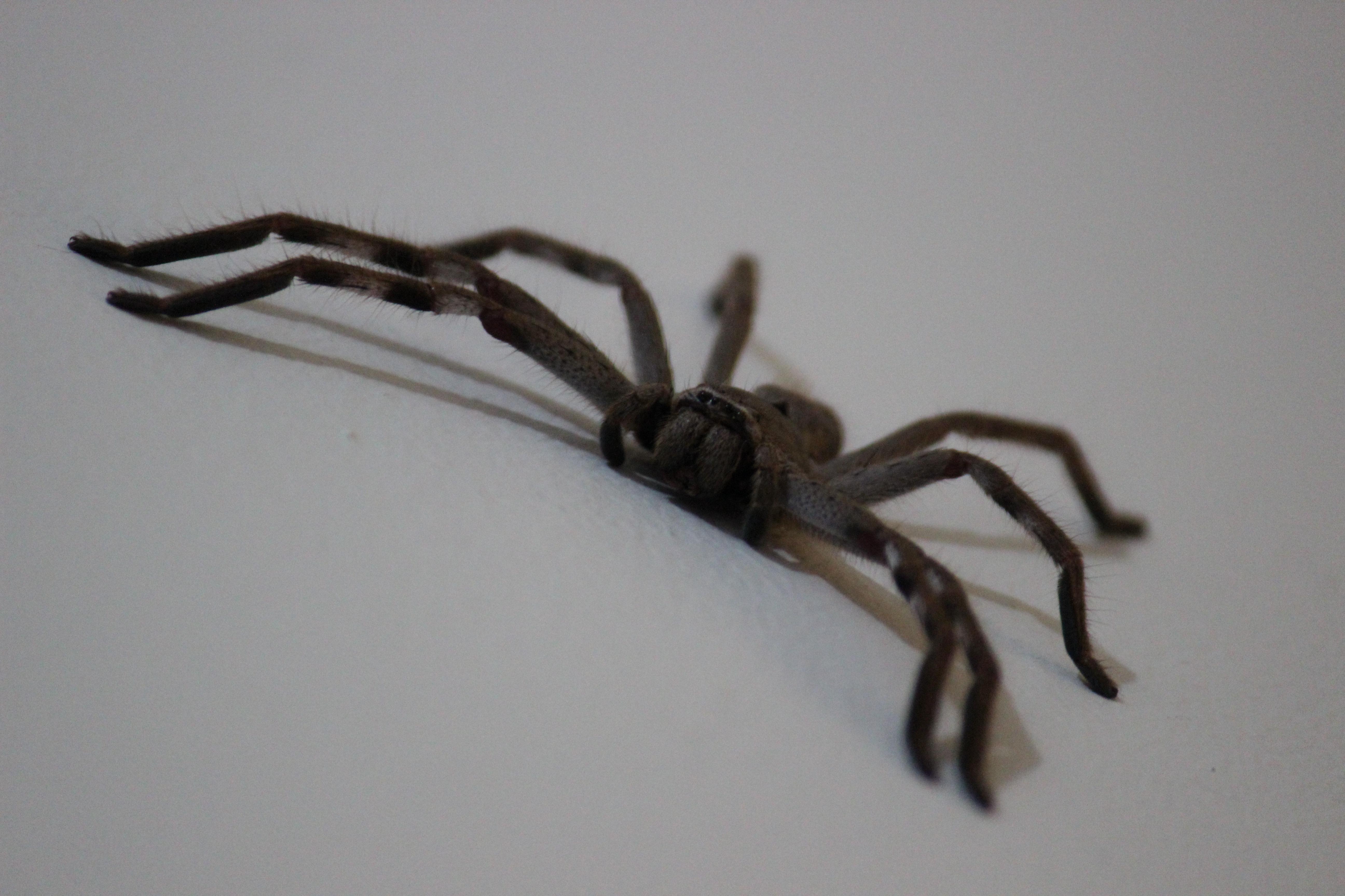 free images insect halloween bug black fauna invertebrate close up crawling crawl scary fear danger hairy arachnid creepy horror phobia - Phobia Halloween