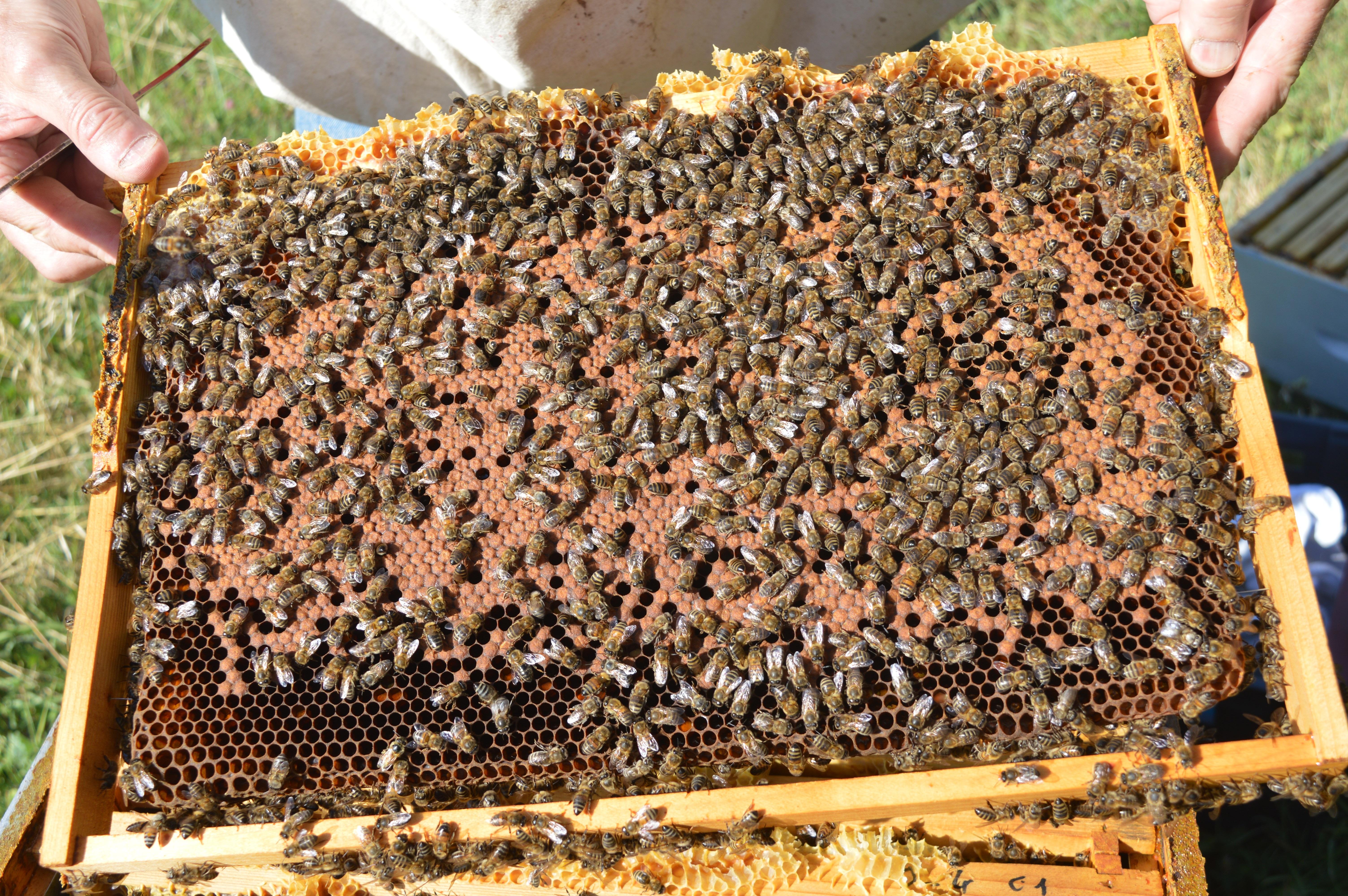 Fotos gratis : insecto, suelo, invertebrado, apicultor, cerrado ...