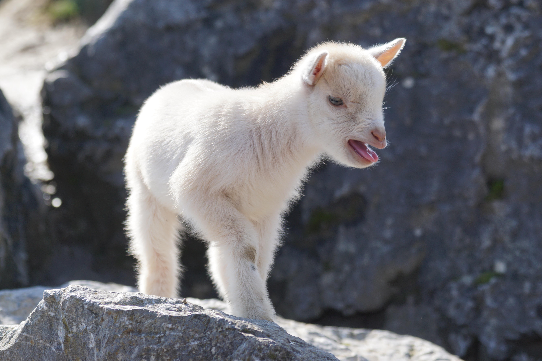 Images gratuites enfant mignonne faune zoo animal de - Photos de moutons gratuites ...