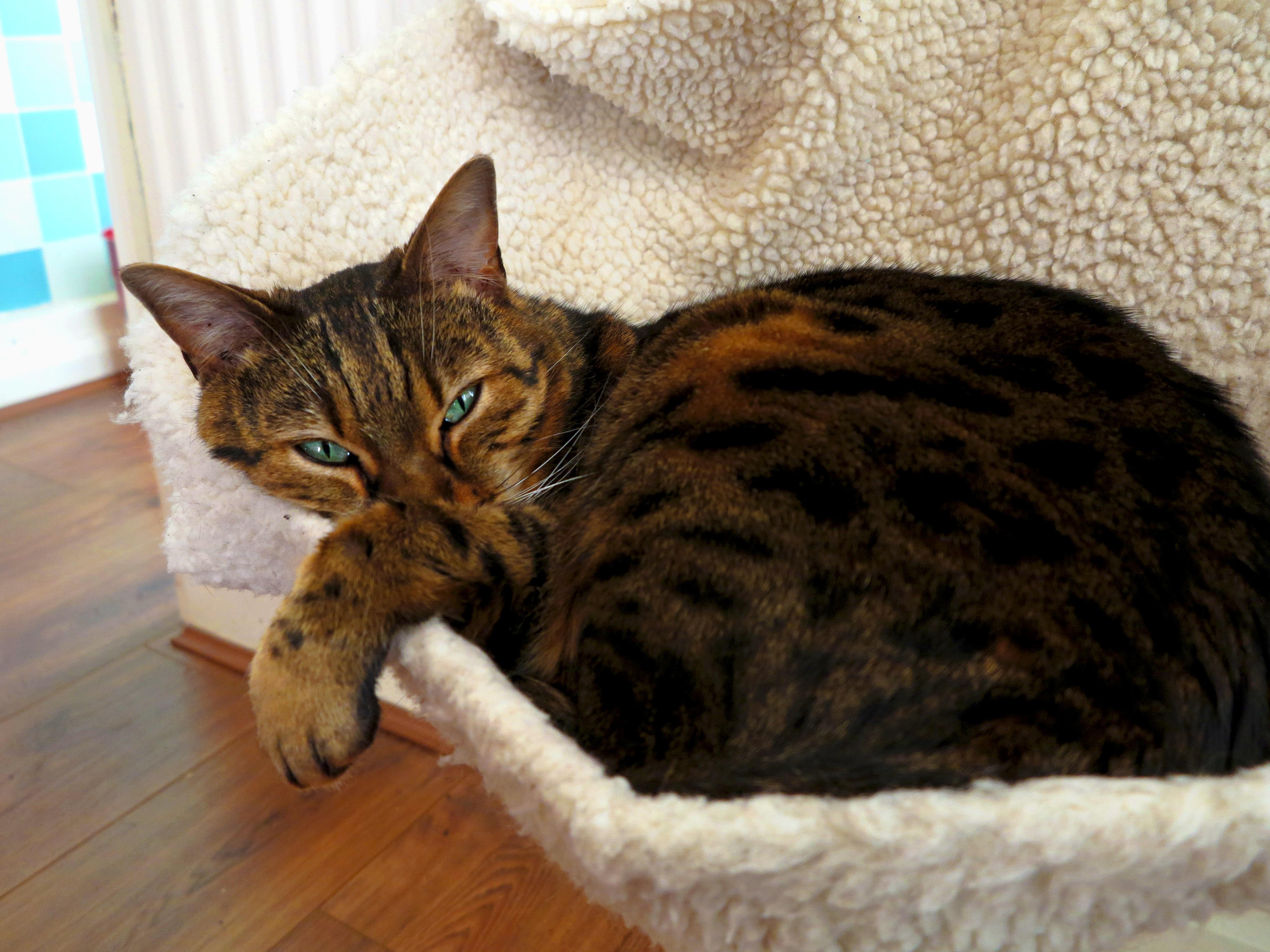 images gratuites chaton f lin les yeux moustaches animaux rayures vert br beau chat. Black Bedroom Furniture Sets. Home Design Ideas