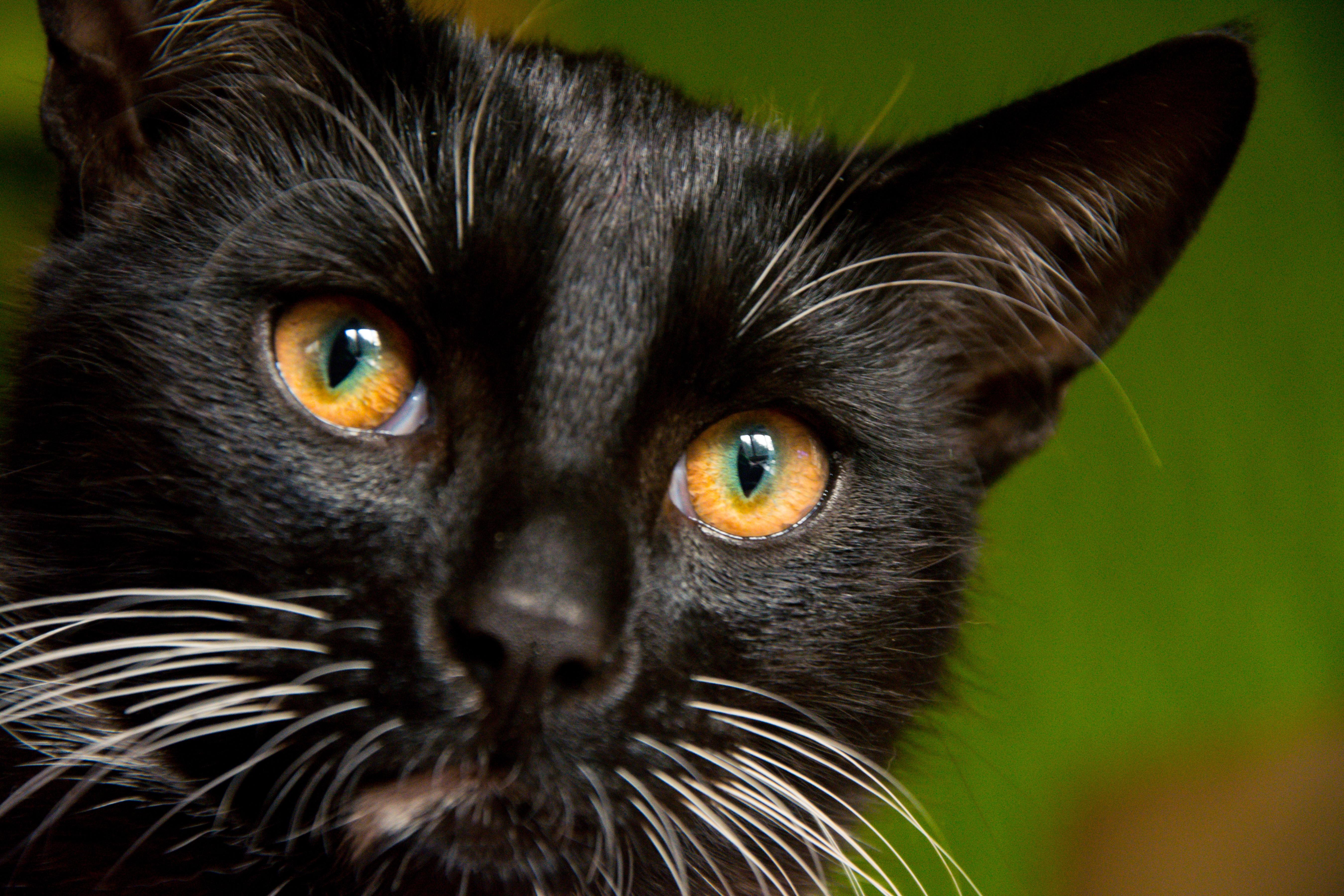 1000+ Gambar Binatang Kucing Hitam HD Terbaru