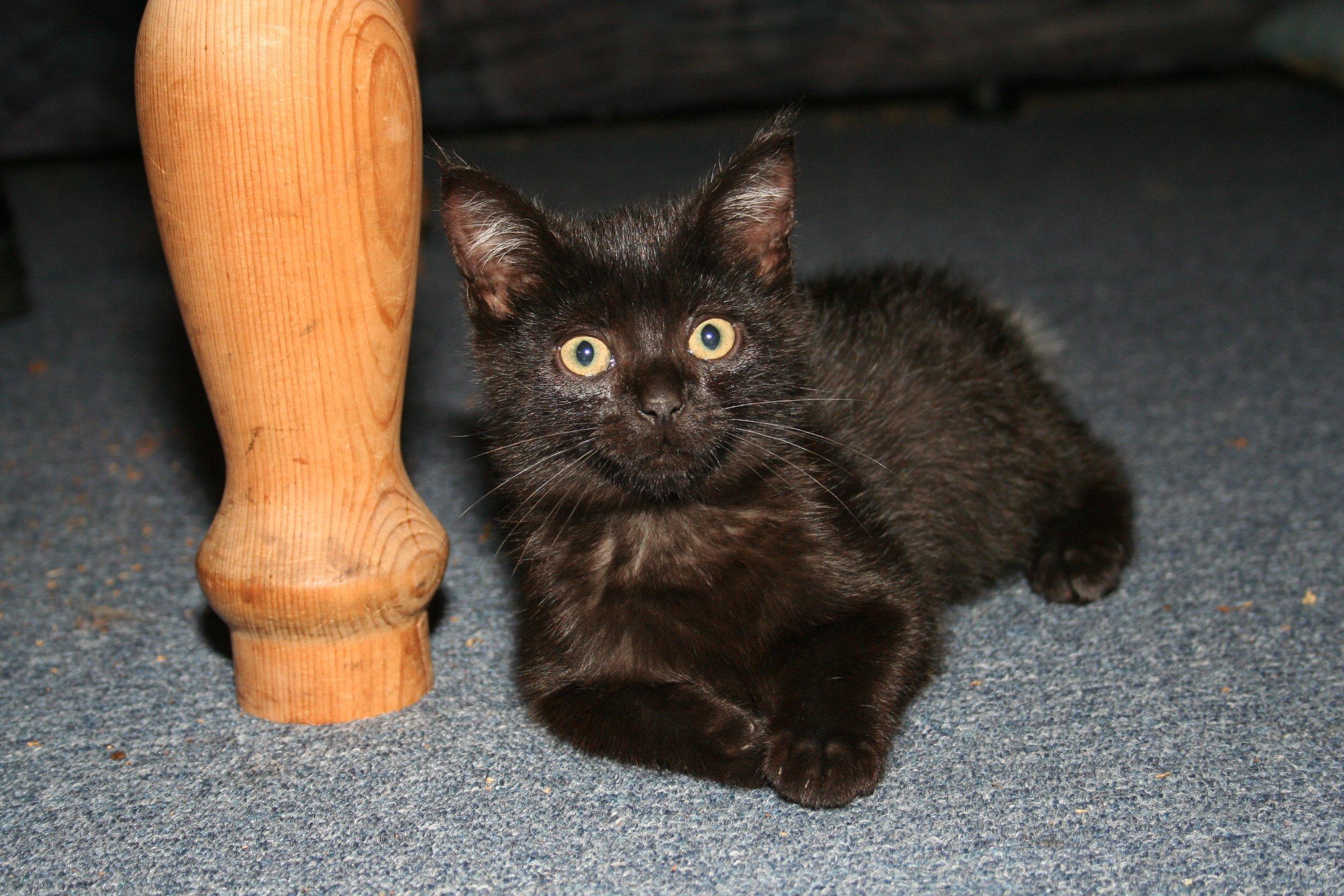 giovane nero rosa micio